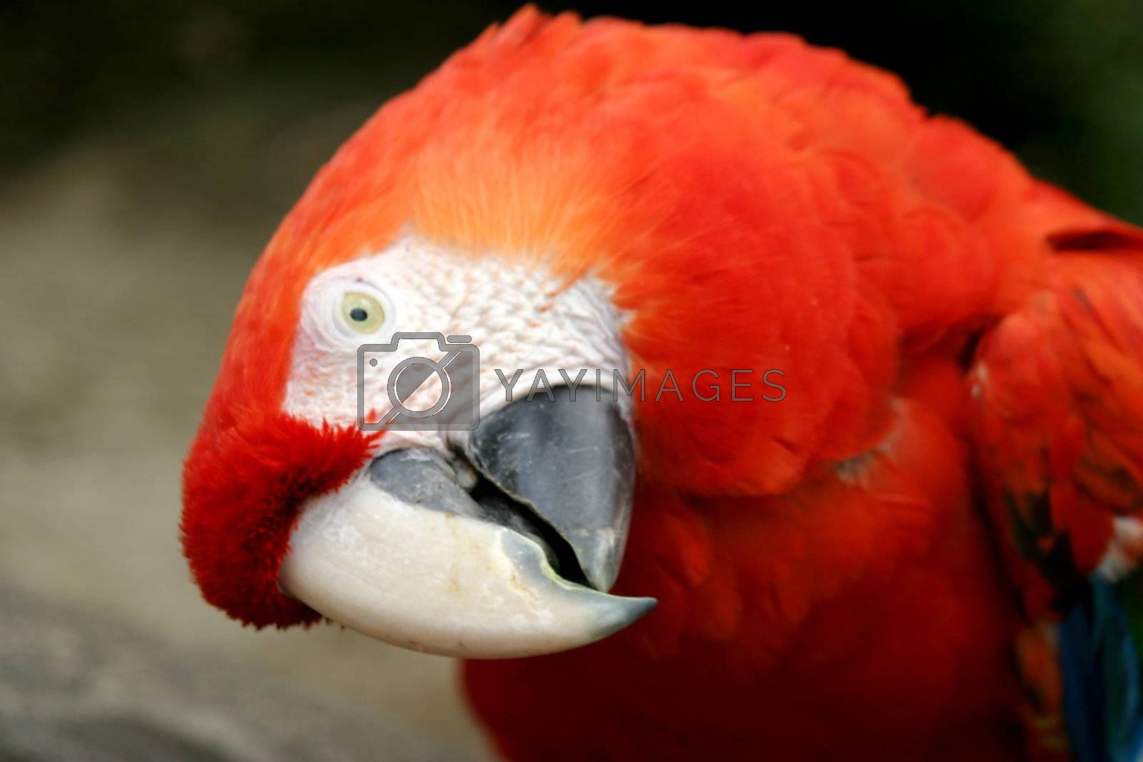 Scalet Macaw (4865) by hlehnerer