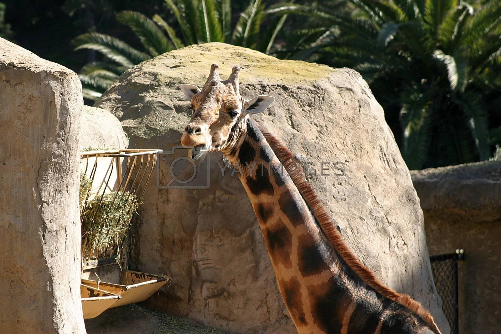 Baringo Giraffe (4714) by hlehnerer
