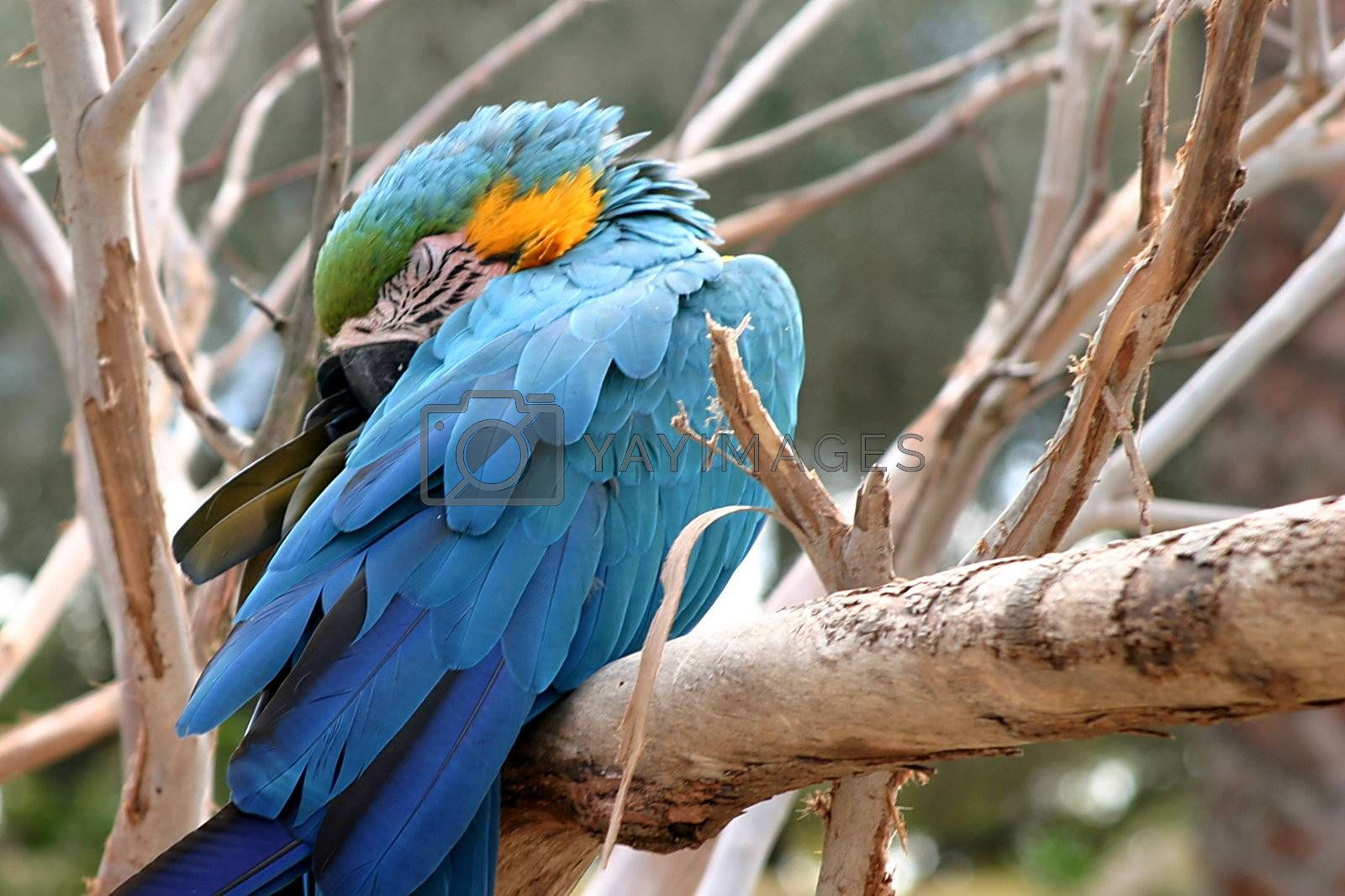 Blue And Gold Macaw (4807) by hlehnerer