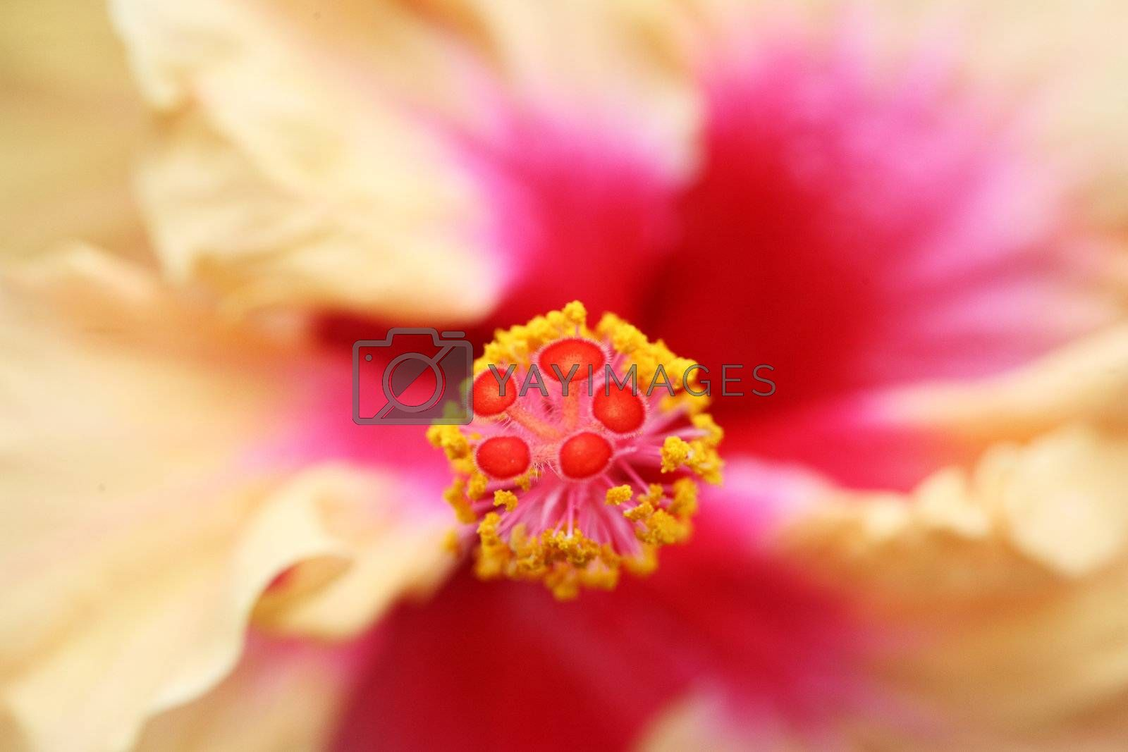close up of the pistil of a hibiscus flower