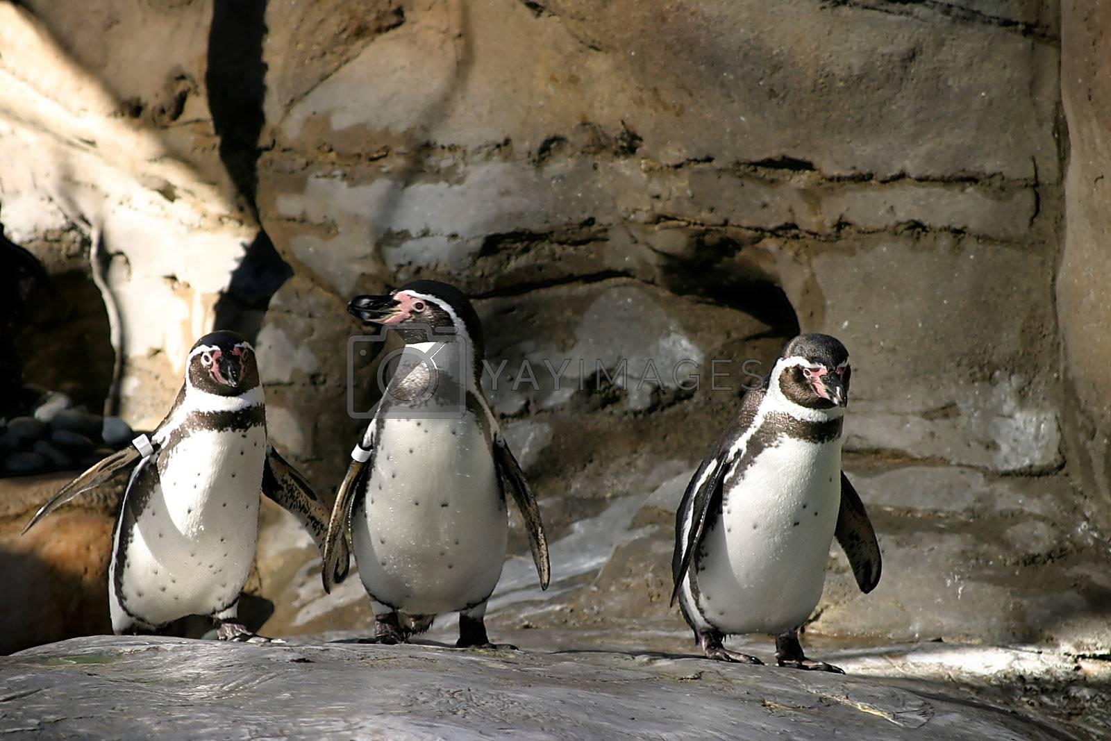 Humboldt Penguin (4677) by hlehnerer