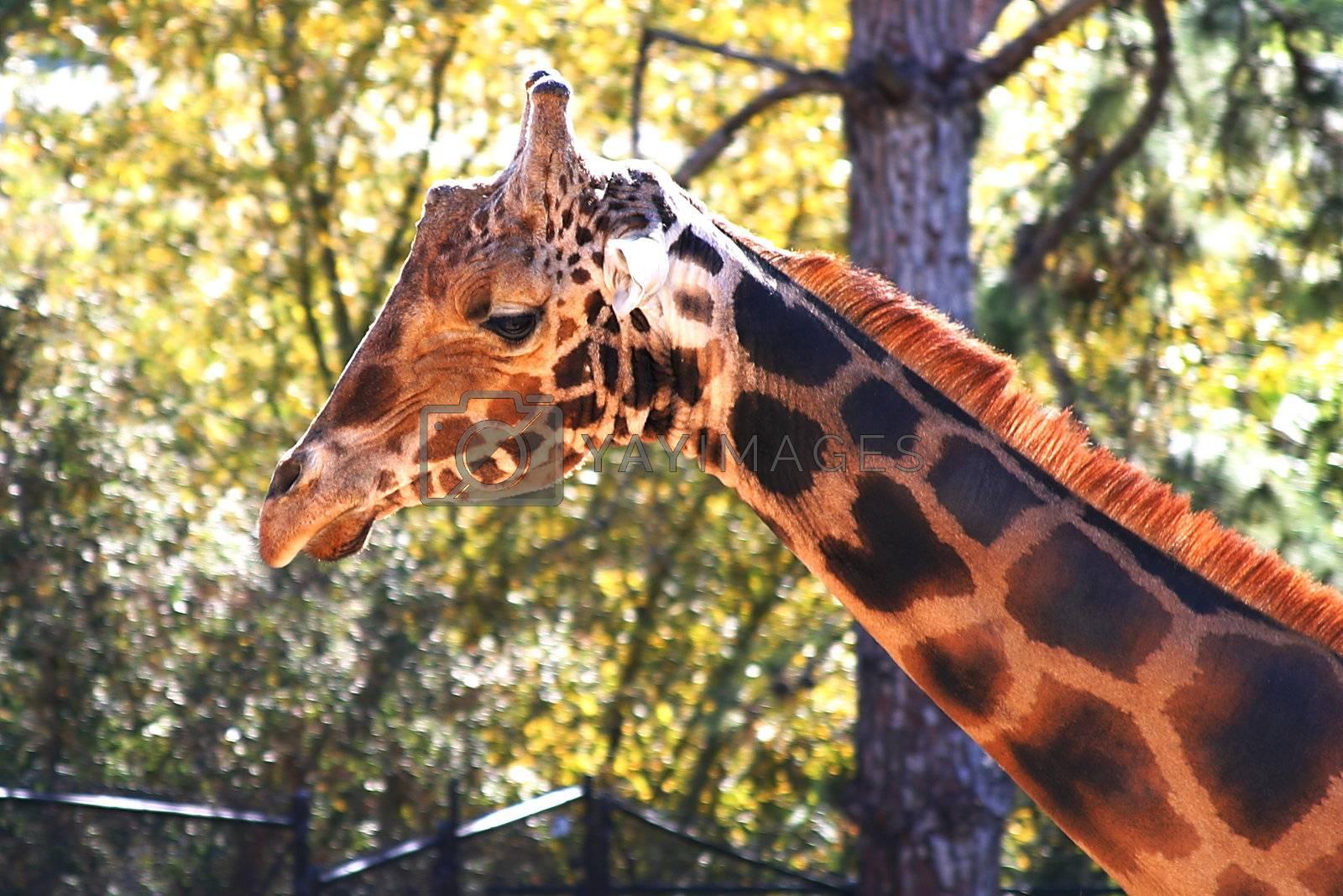 Baringo Giraffe (4703) by hlehnerer