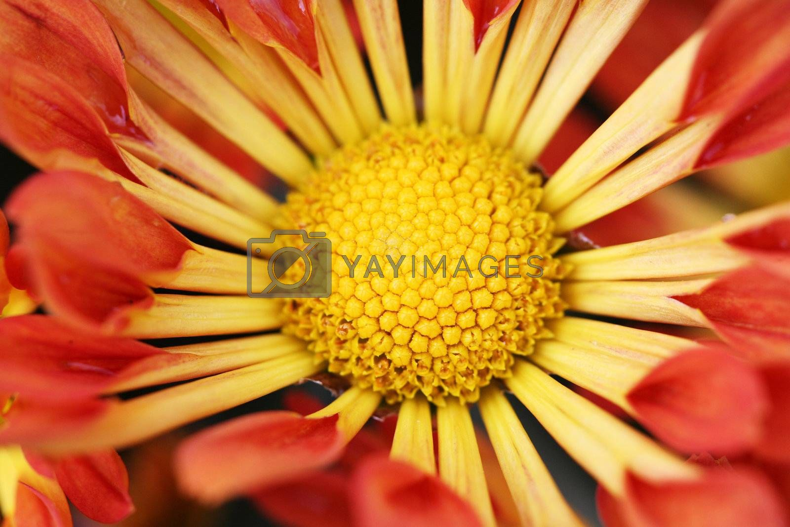 Close up of a sunflower bloom with blurred petals