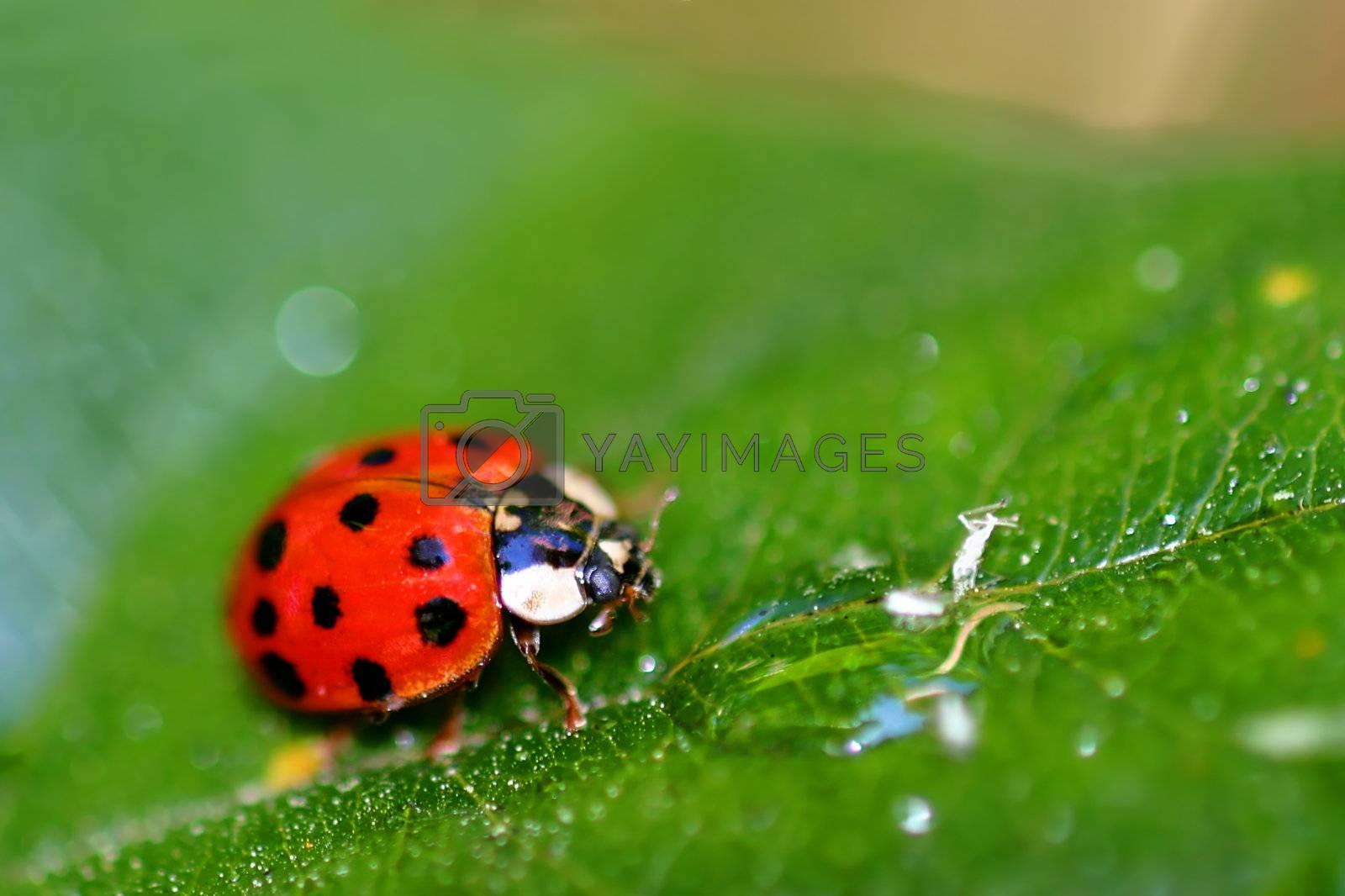 Lady Bug (6408) by hlehnerer