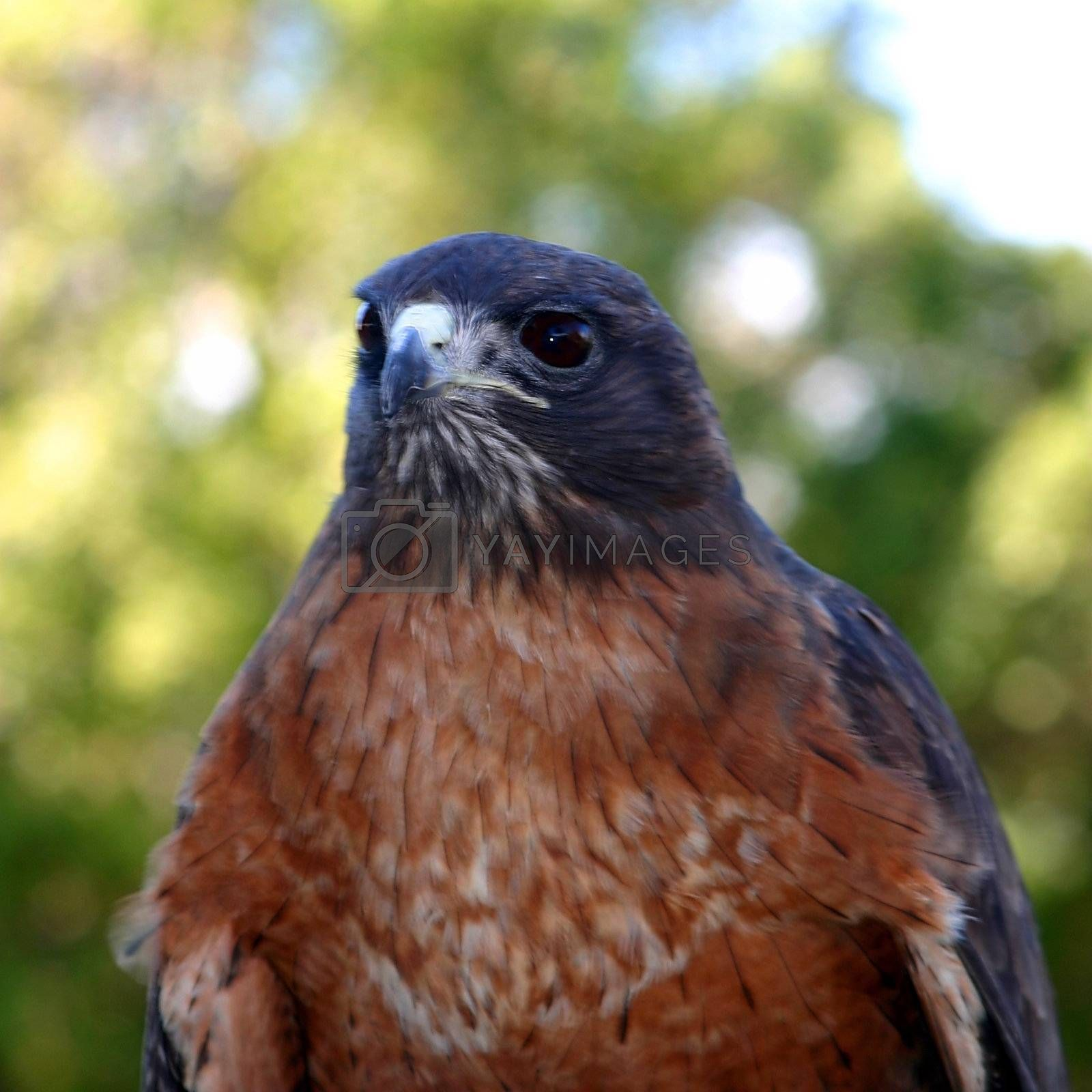 Red Tailed Hawk (4804) by hlehnerer