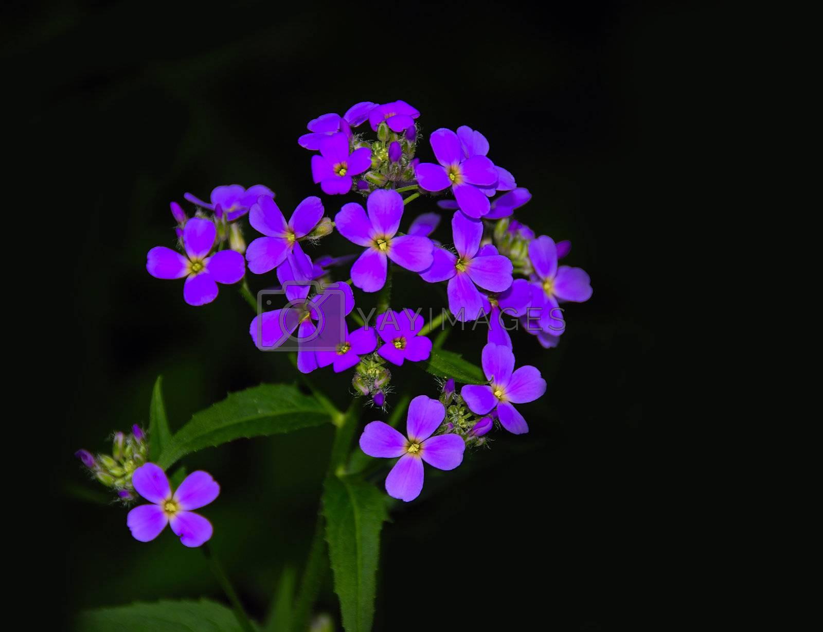 Violet Flower by pazham