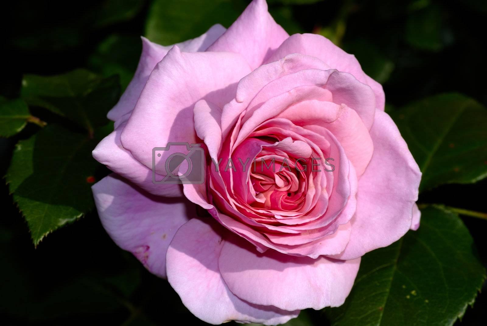 Rose Macro by pazham