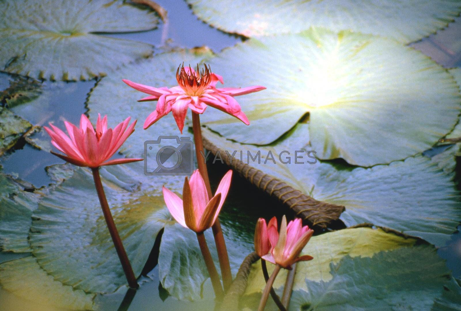 Lotus flower symbol of divine beauty seeks the sunlight.