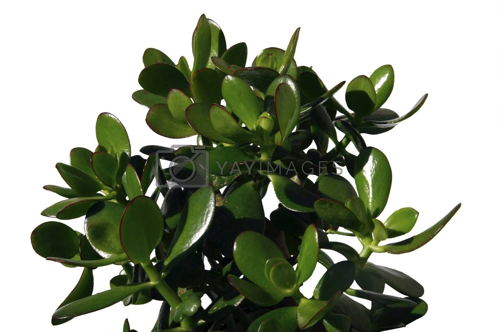 a money plant against a white background