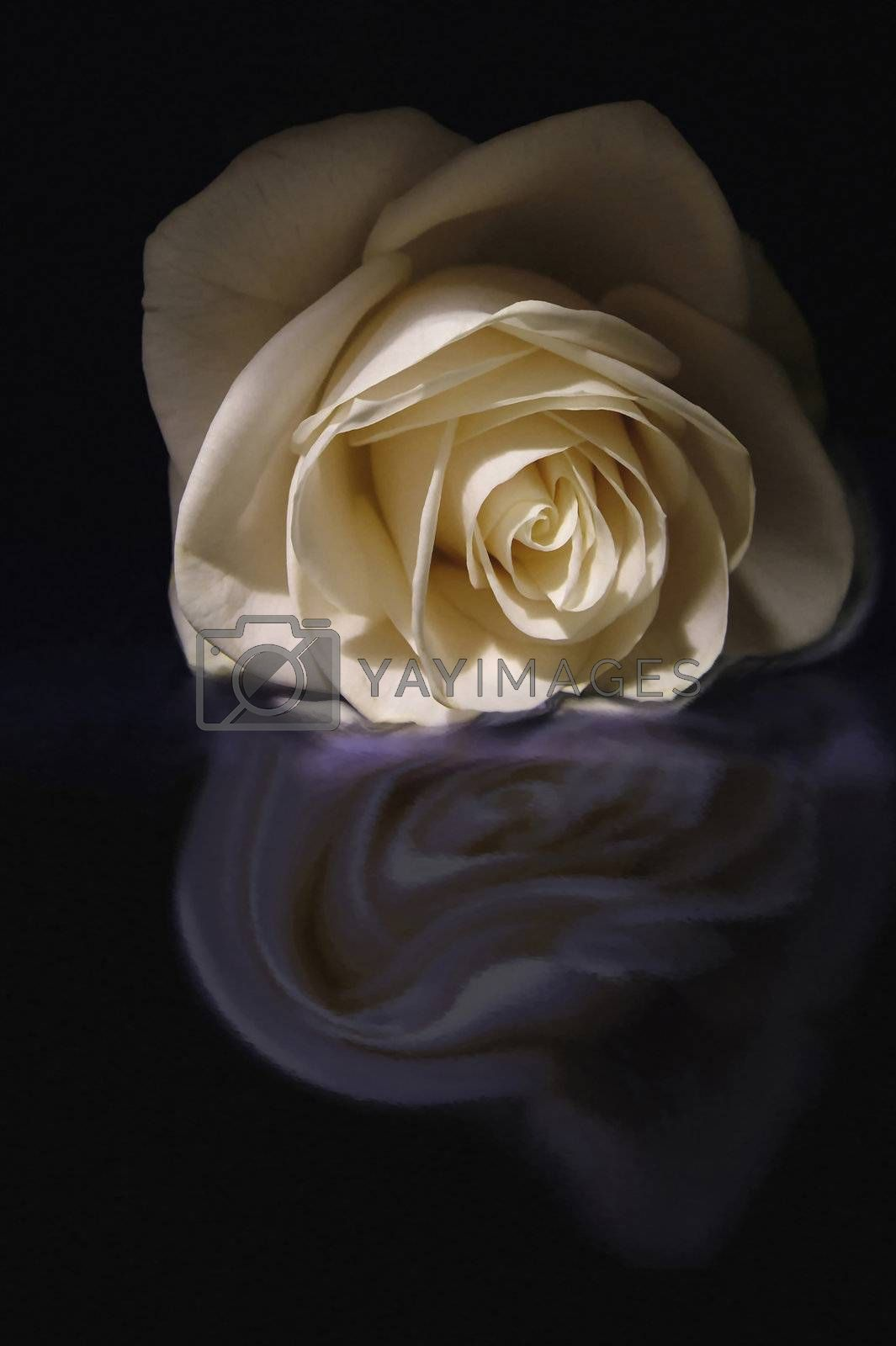 rose reflected by the water