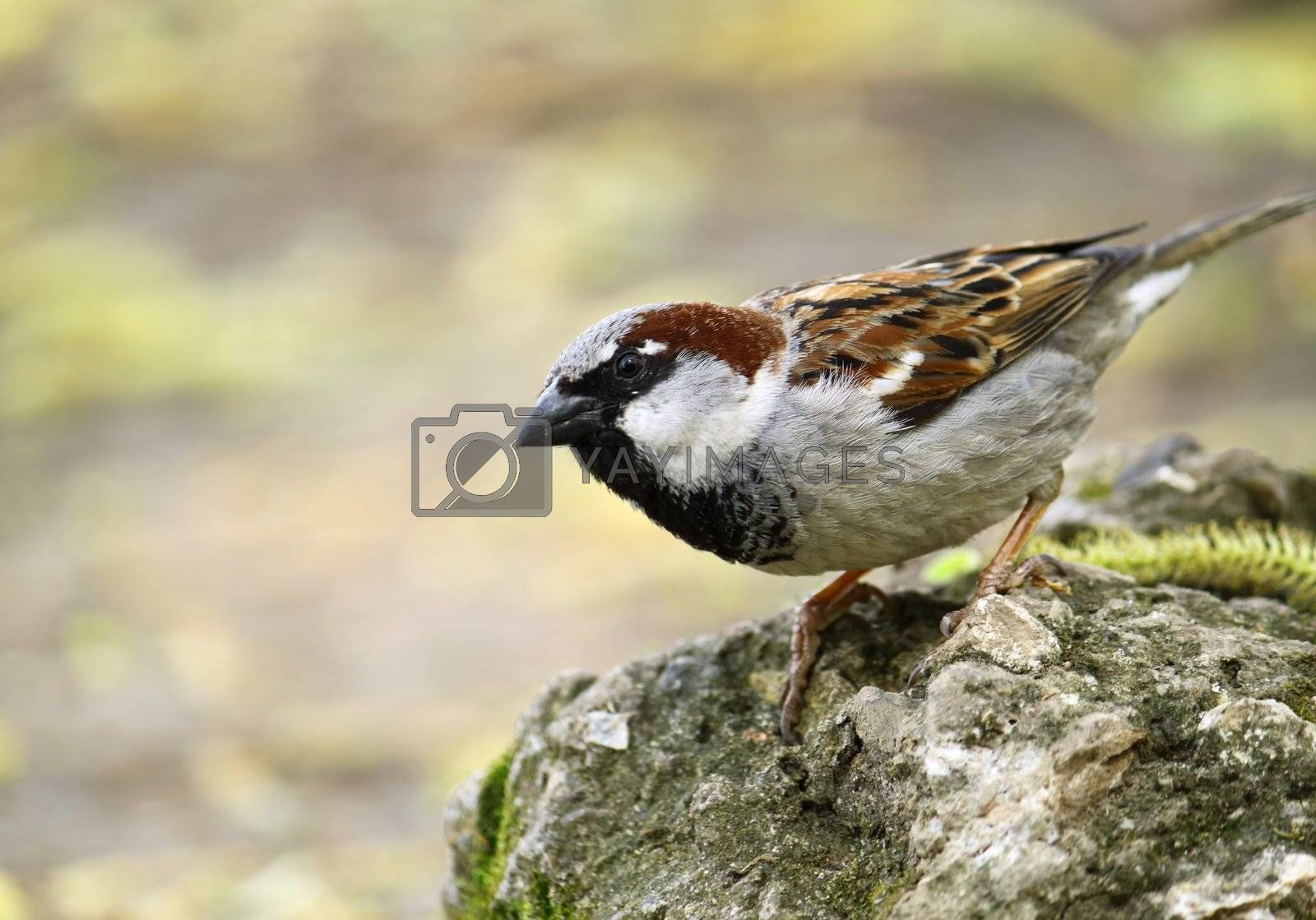 single sparrow sitting on a stone