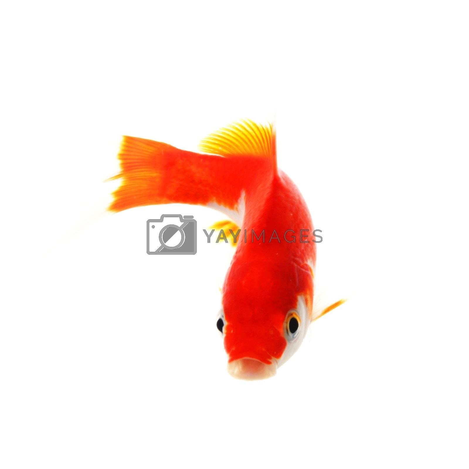 goldfish or fish isolated on white background