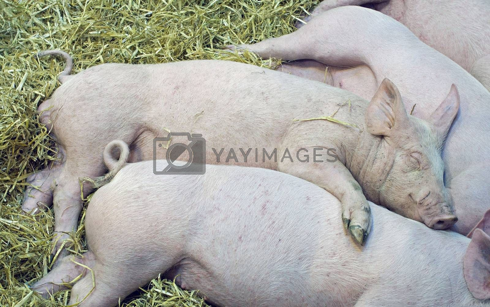 nap of the pigs babys