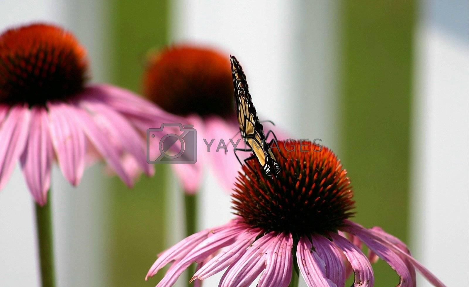 Butterfly resting it's wings on a daffodill