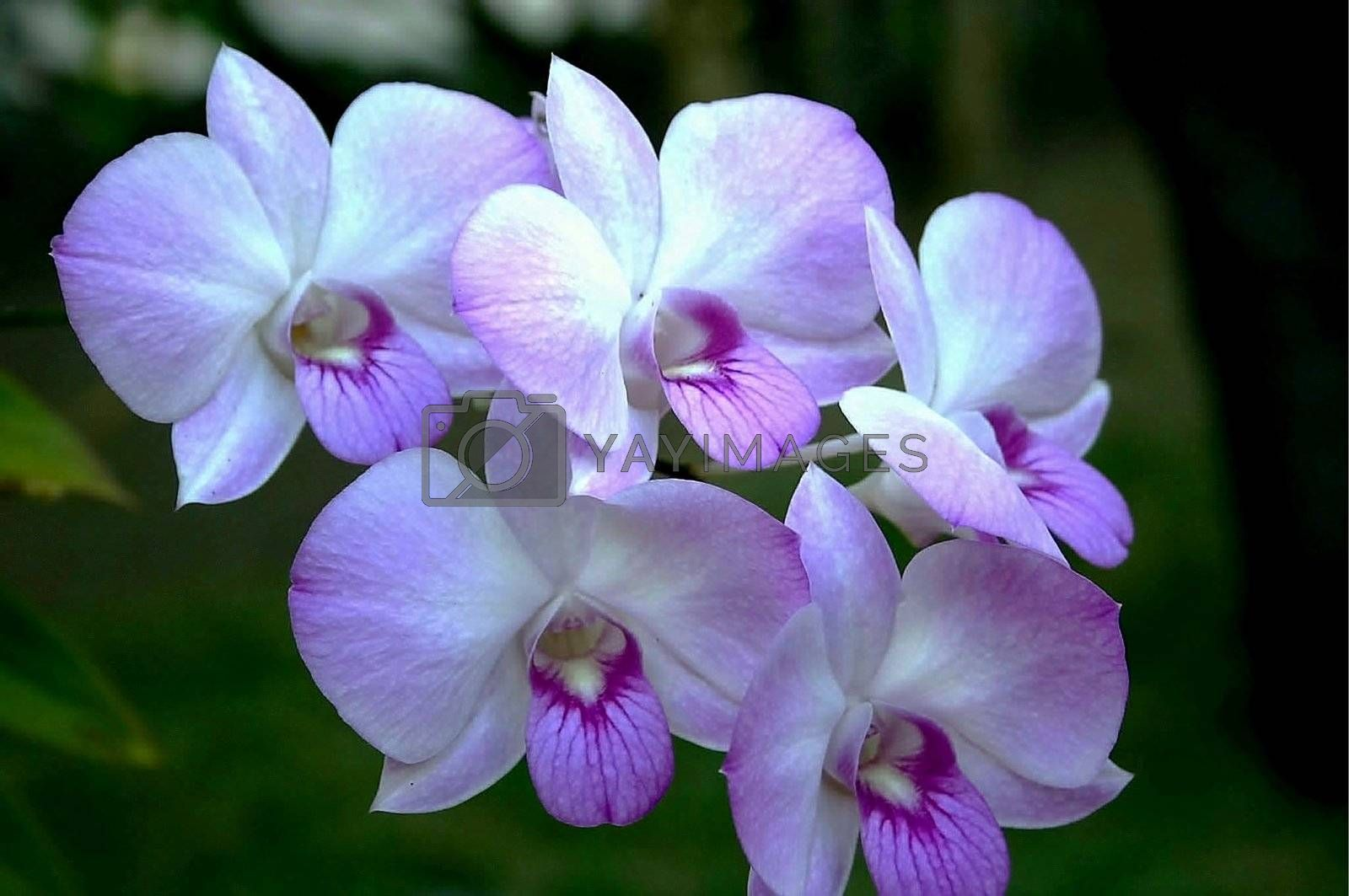 Group of five purple orchids under the sun