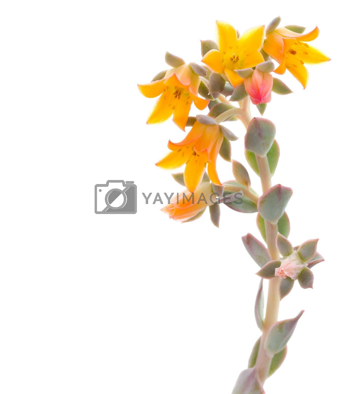 close-up flowers of echeveria, isolated on white