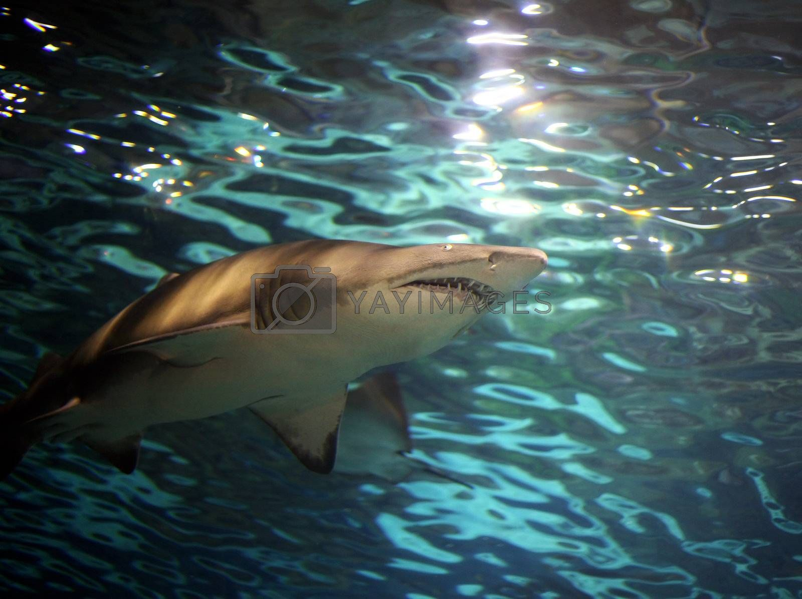 A grey shark, swimming underwater. Sunbeams are shining down through the water