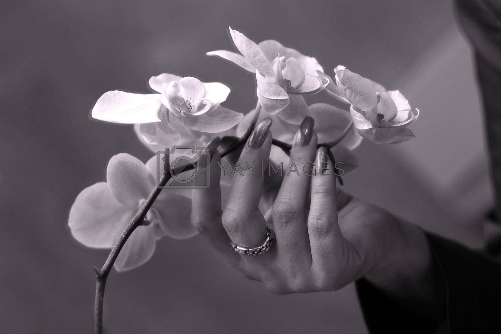 The female hand touches petals of an orchid. b/w