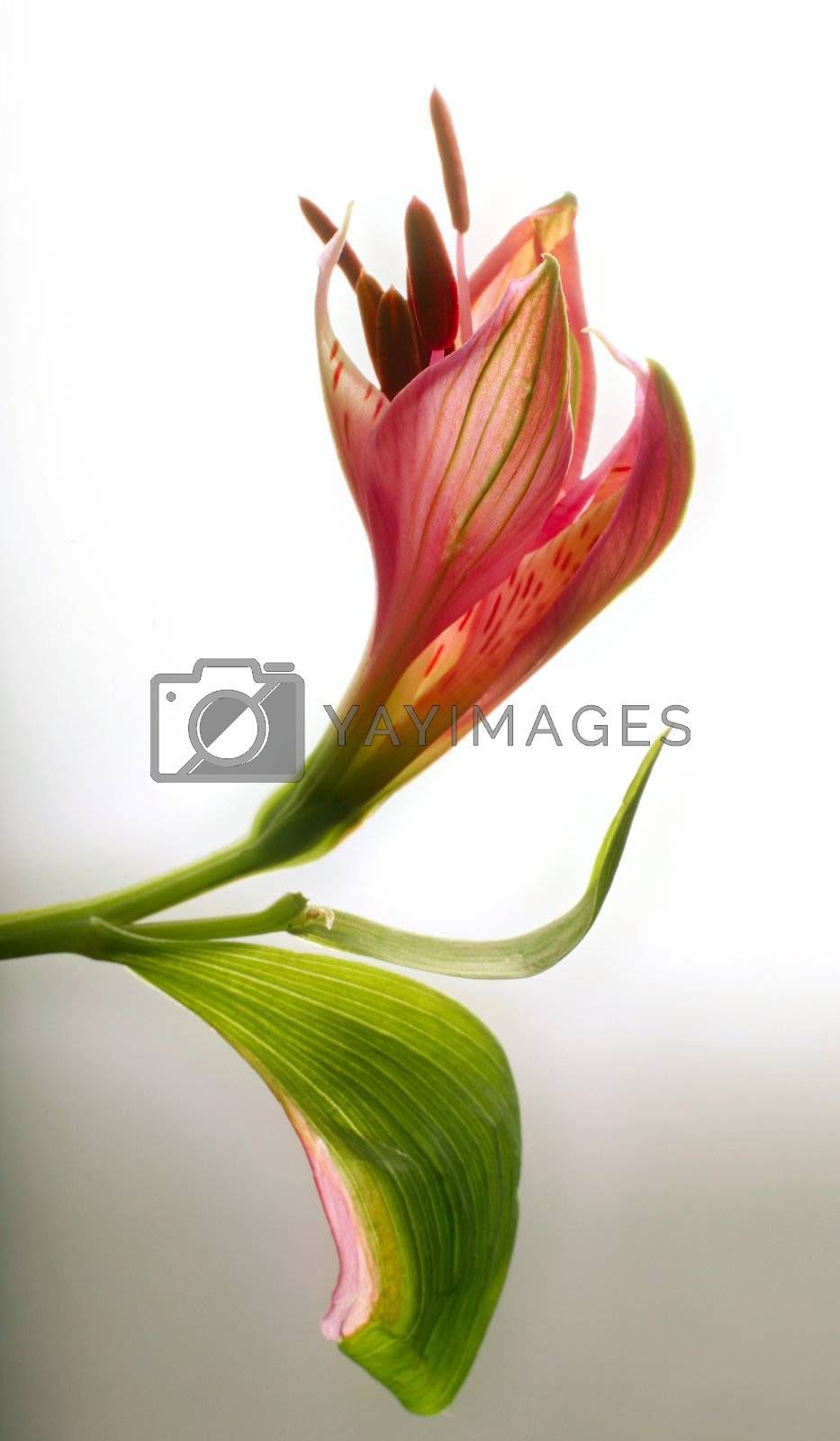 Bud of a flower on a light background