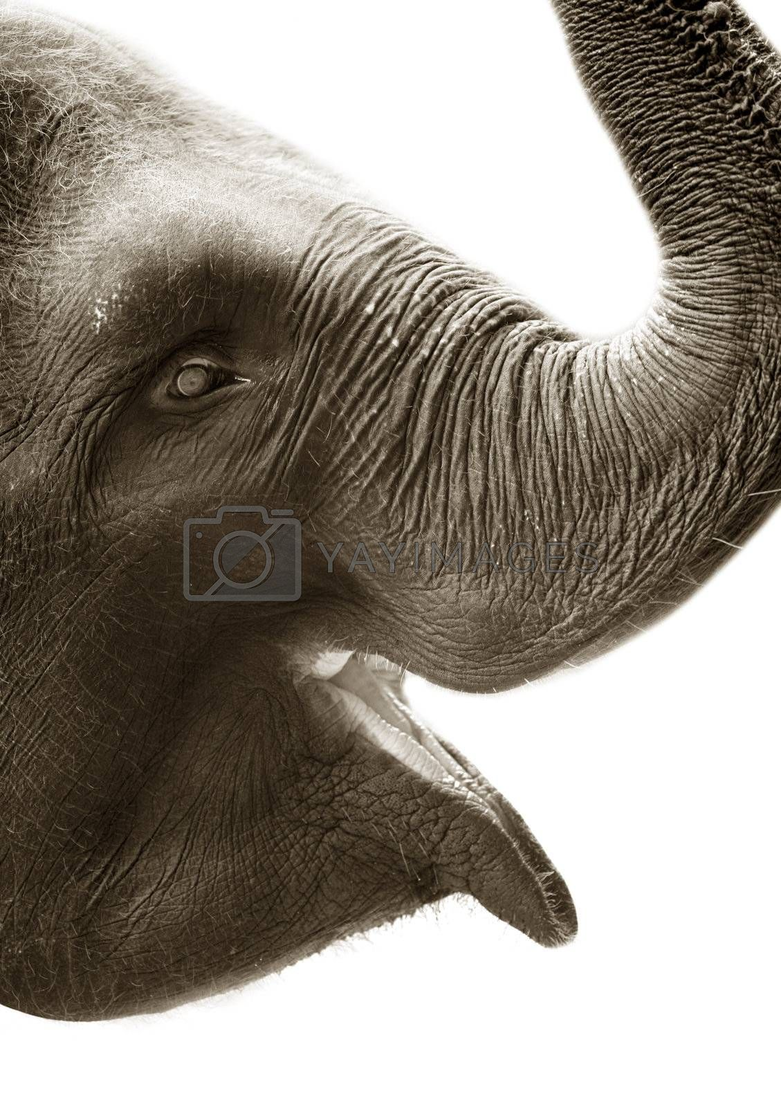 Portrait of the elephant close-up