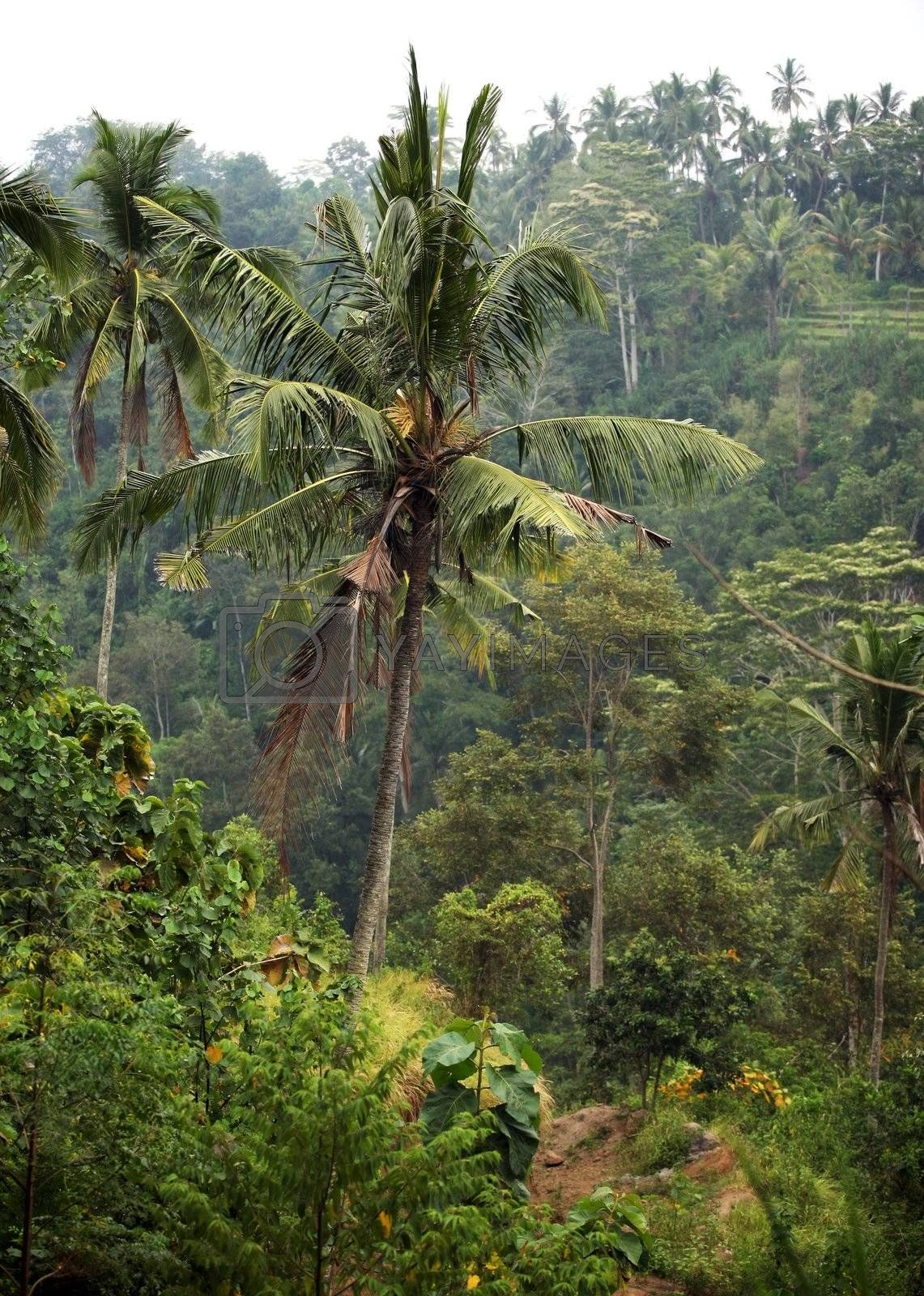 Trees of a coco in jungle. Bali. Indonesia