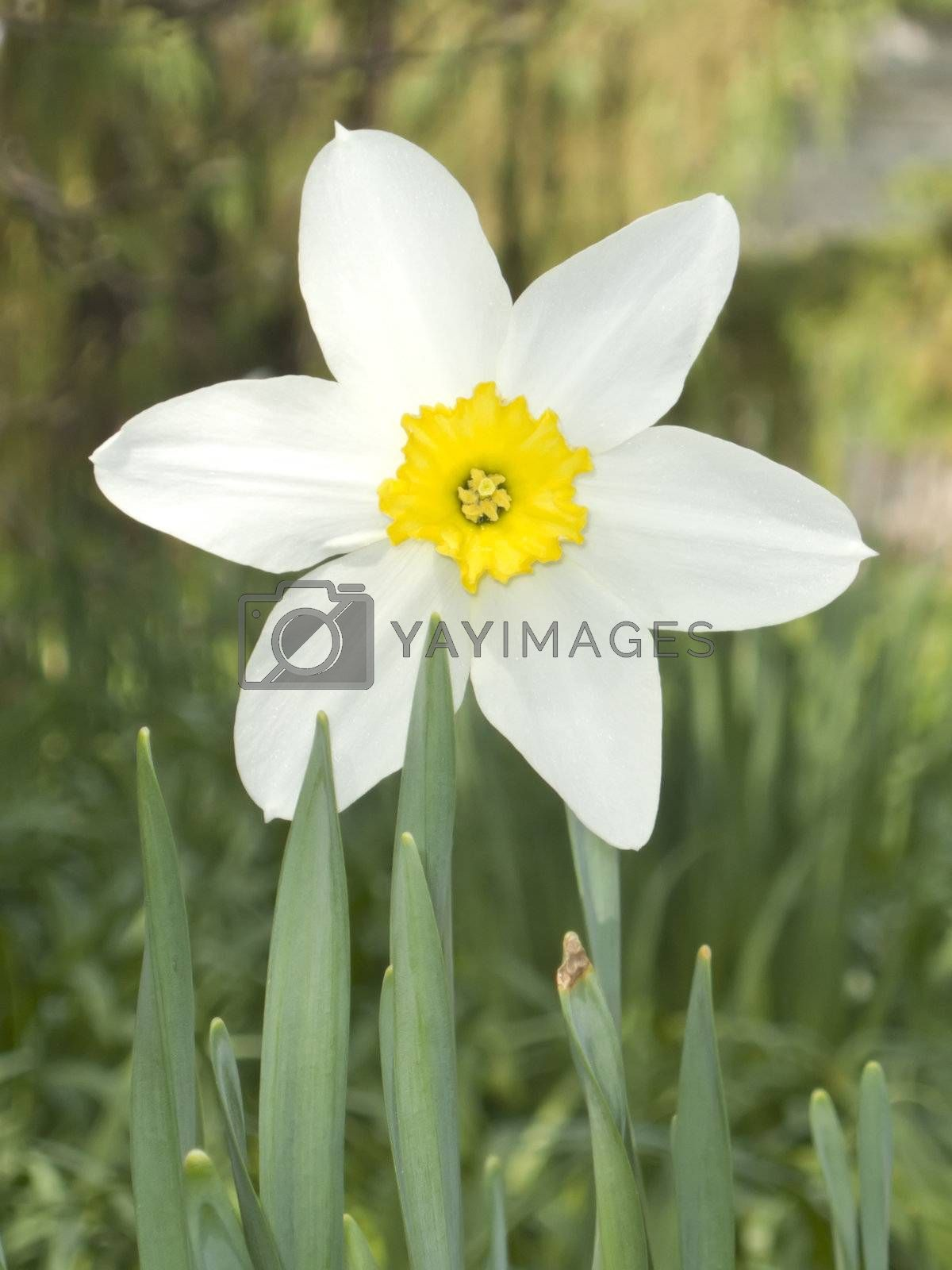 An image of a white daffodil in the garden