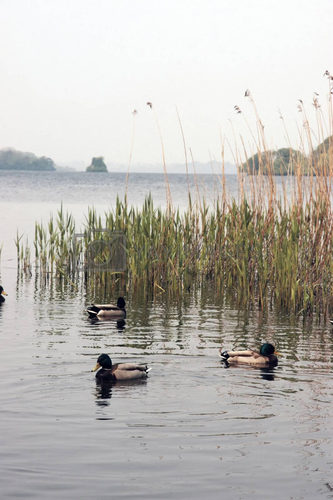 three little ducks by morrbyte