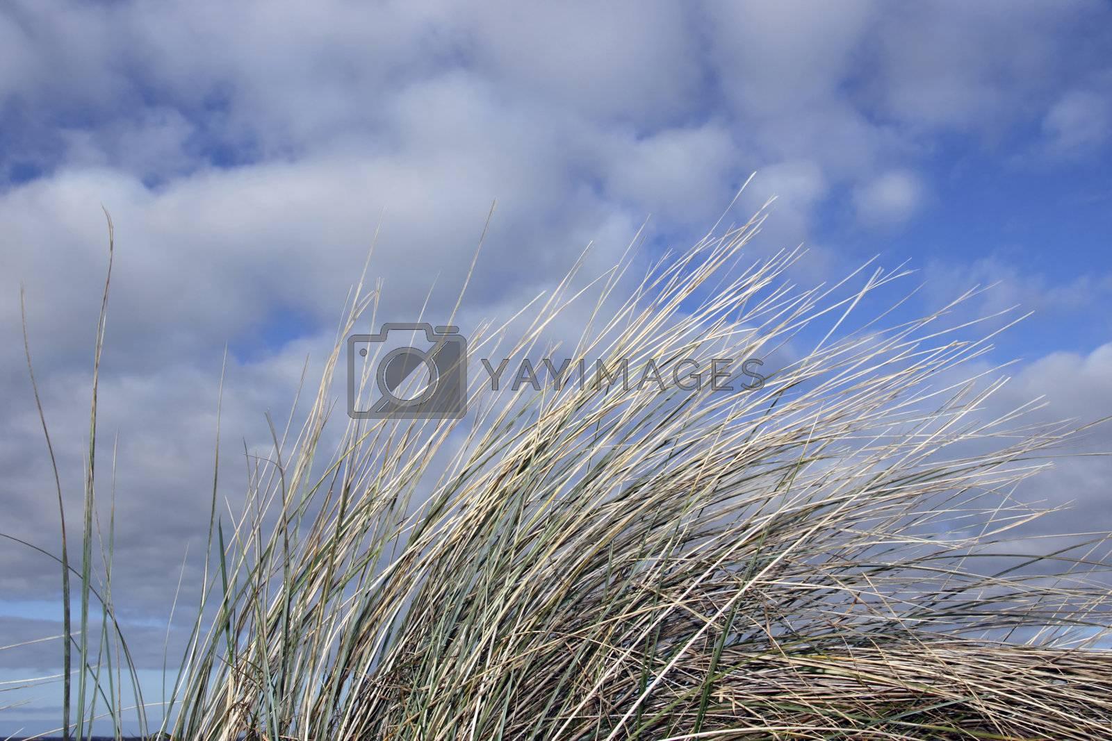 tall grass on irelands coast
