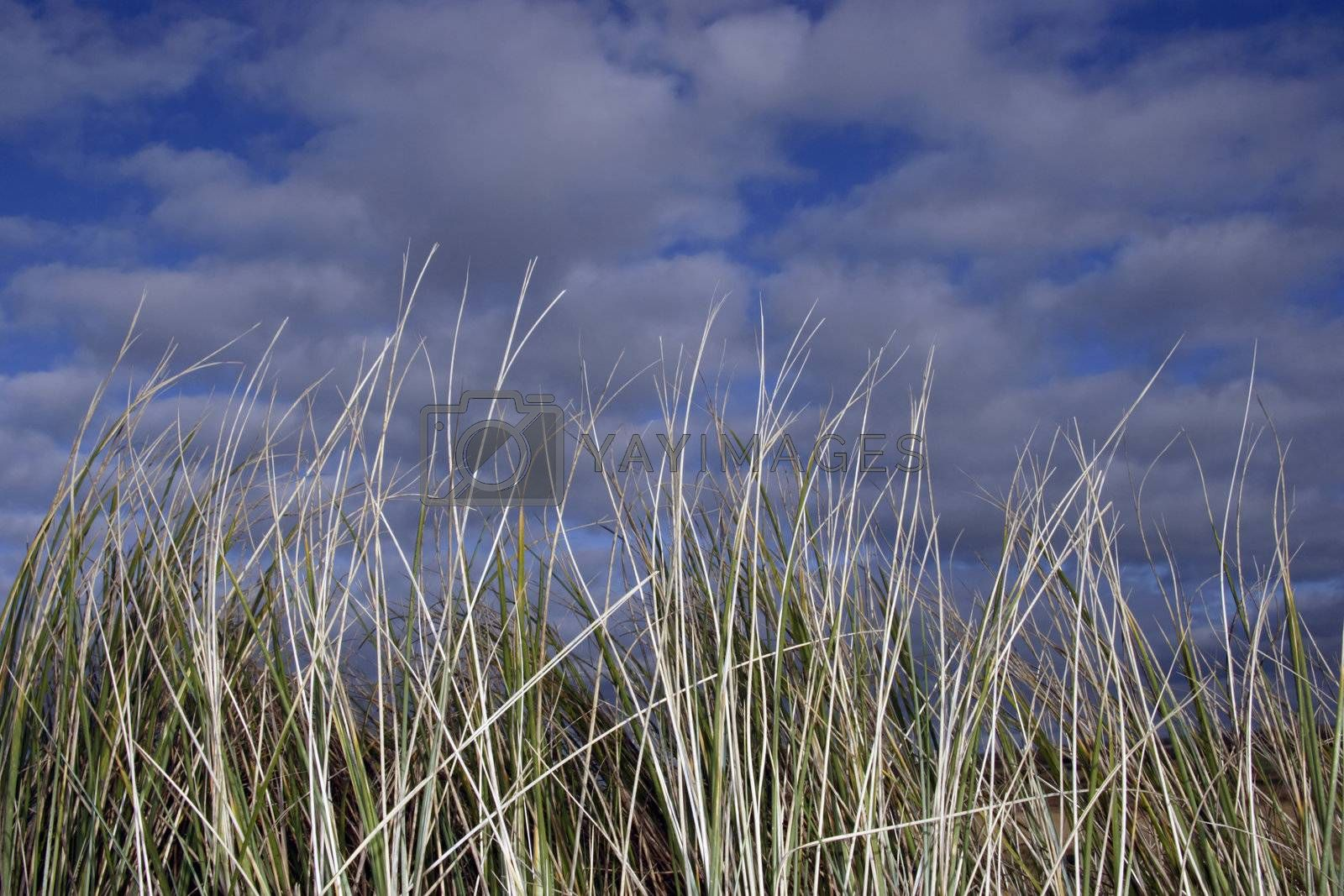 tall grass west coast of ireland