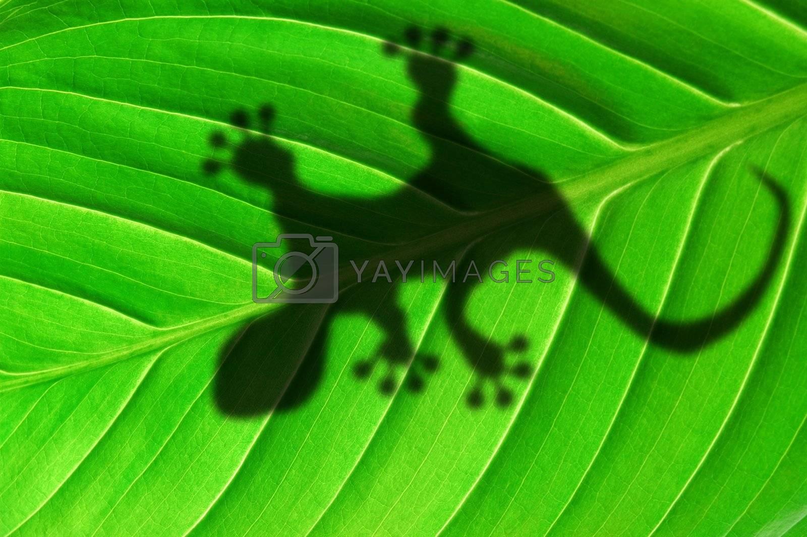 Royalty free image of gecko shadow on leaf by gunnar3000