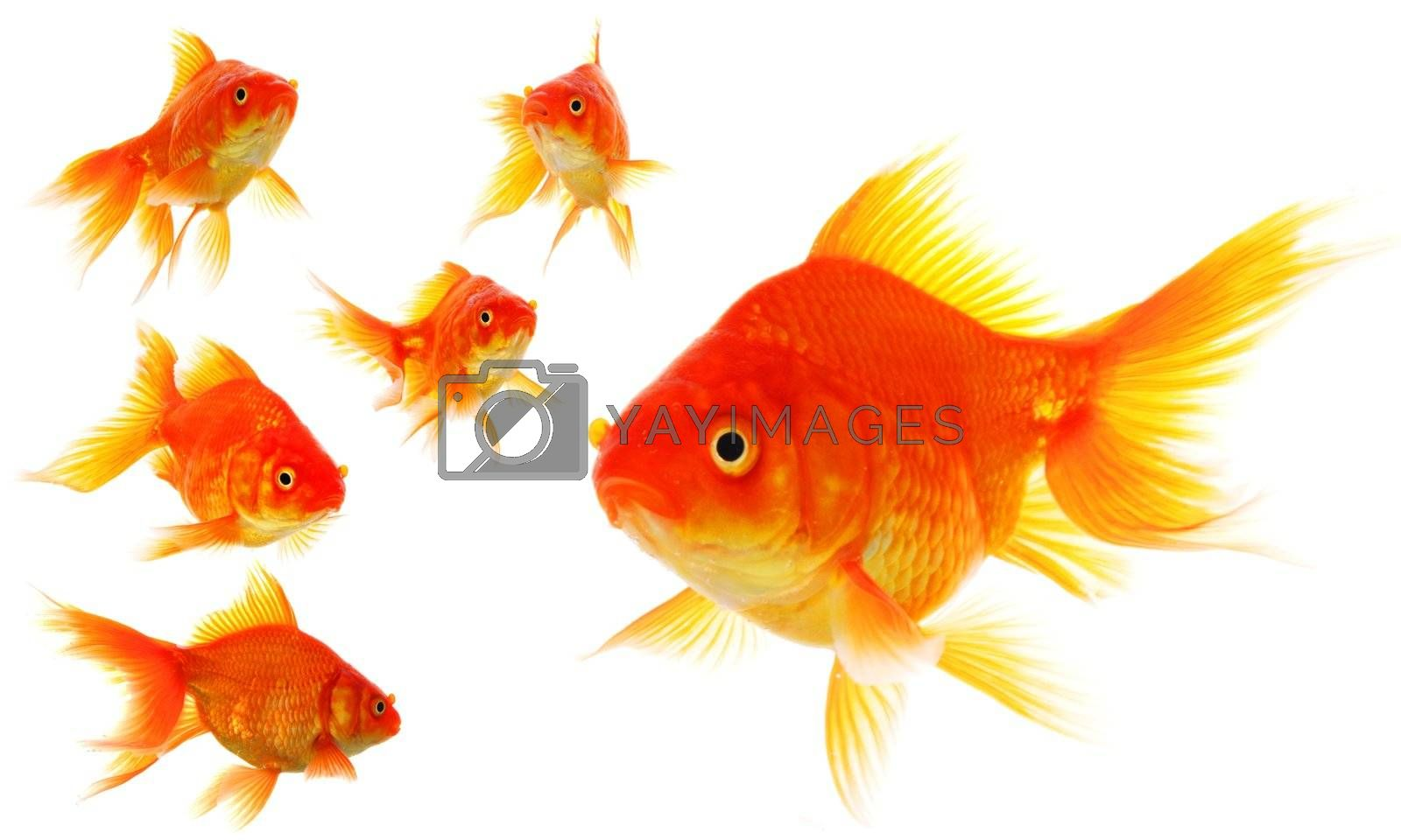 Royalty free image of goldfish collection by gunnar3000
