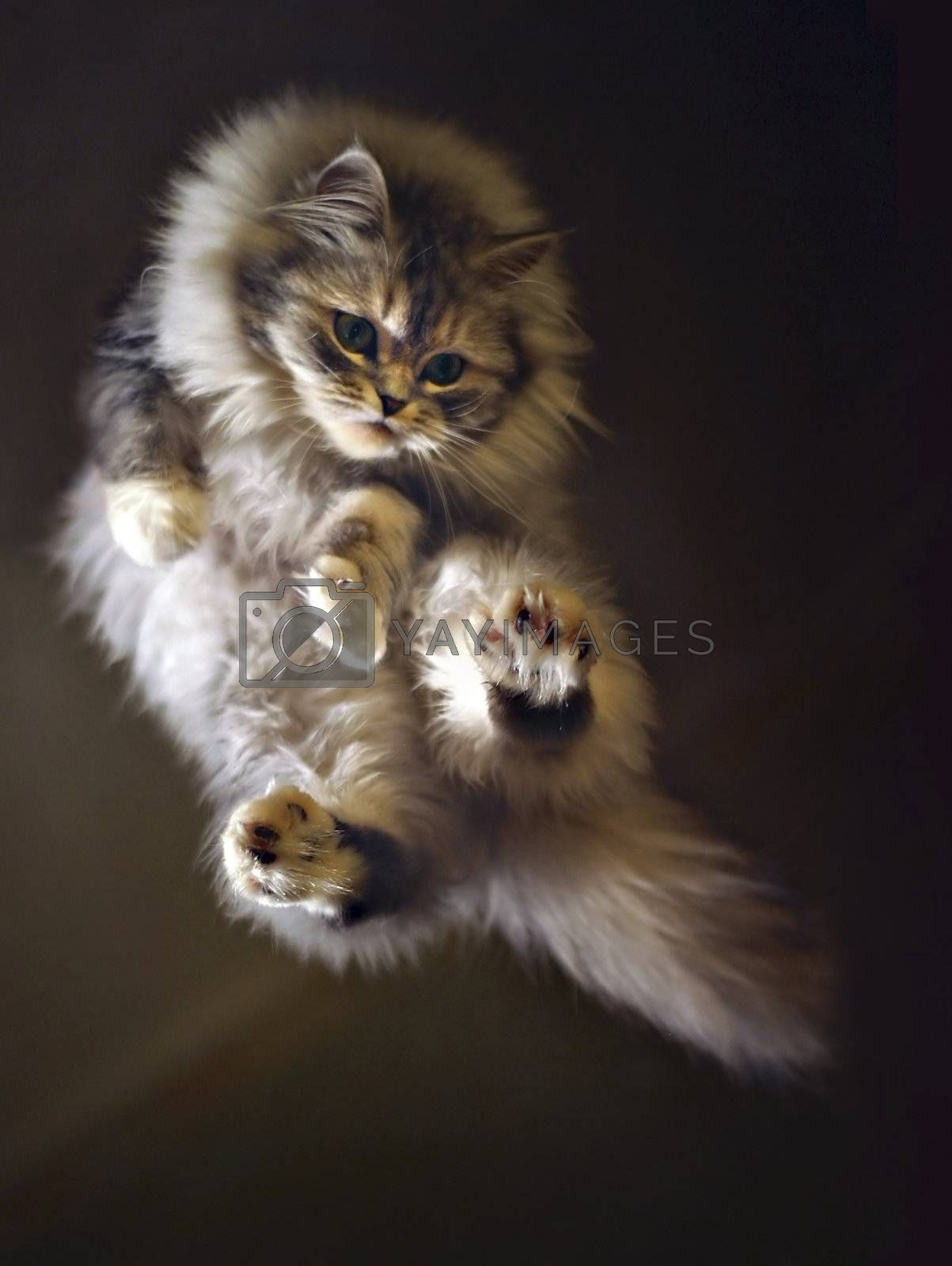Flying cat by friday