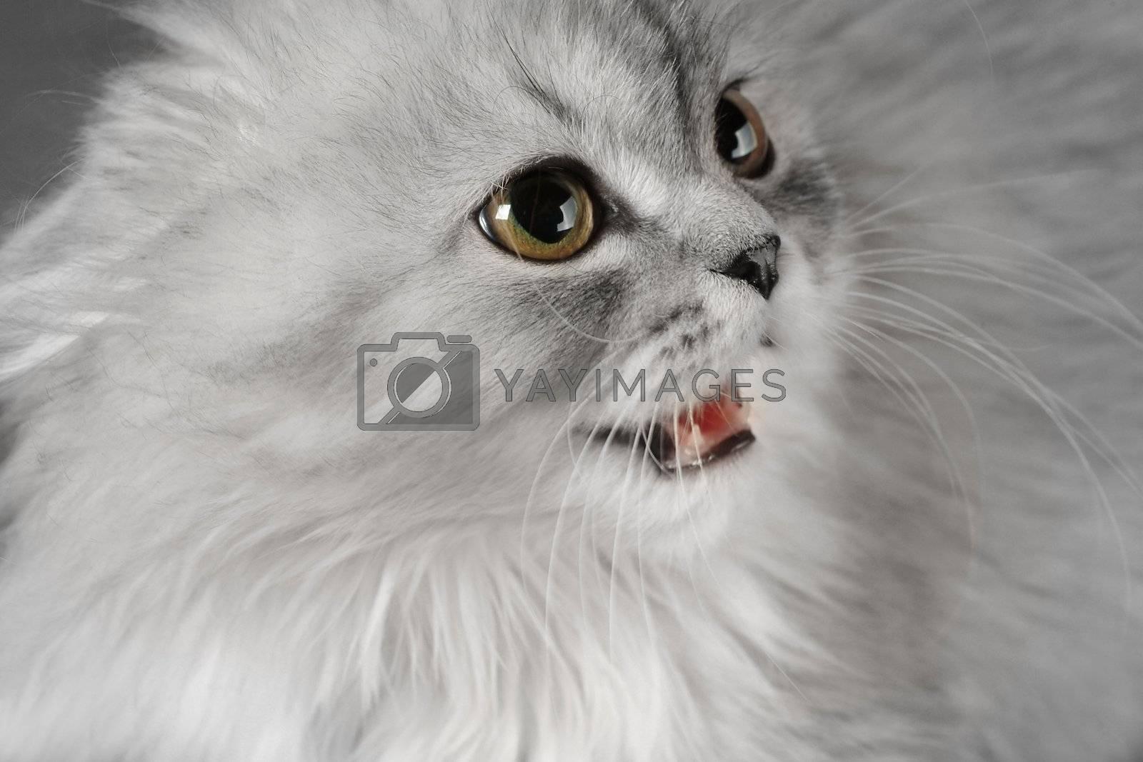White kitten showing the fangs