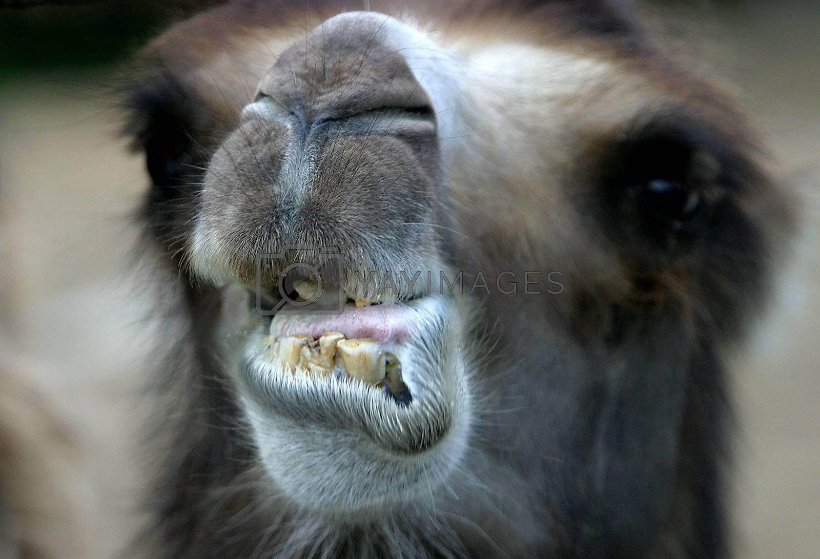 Head of a camel close-up