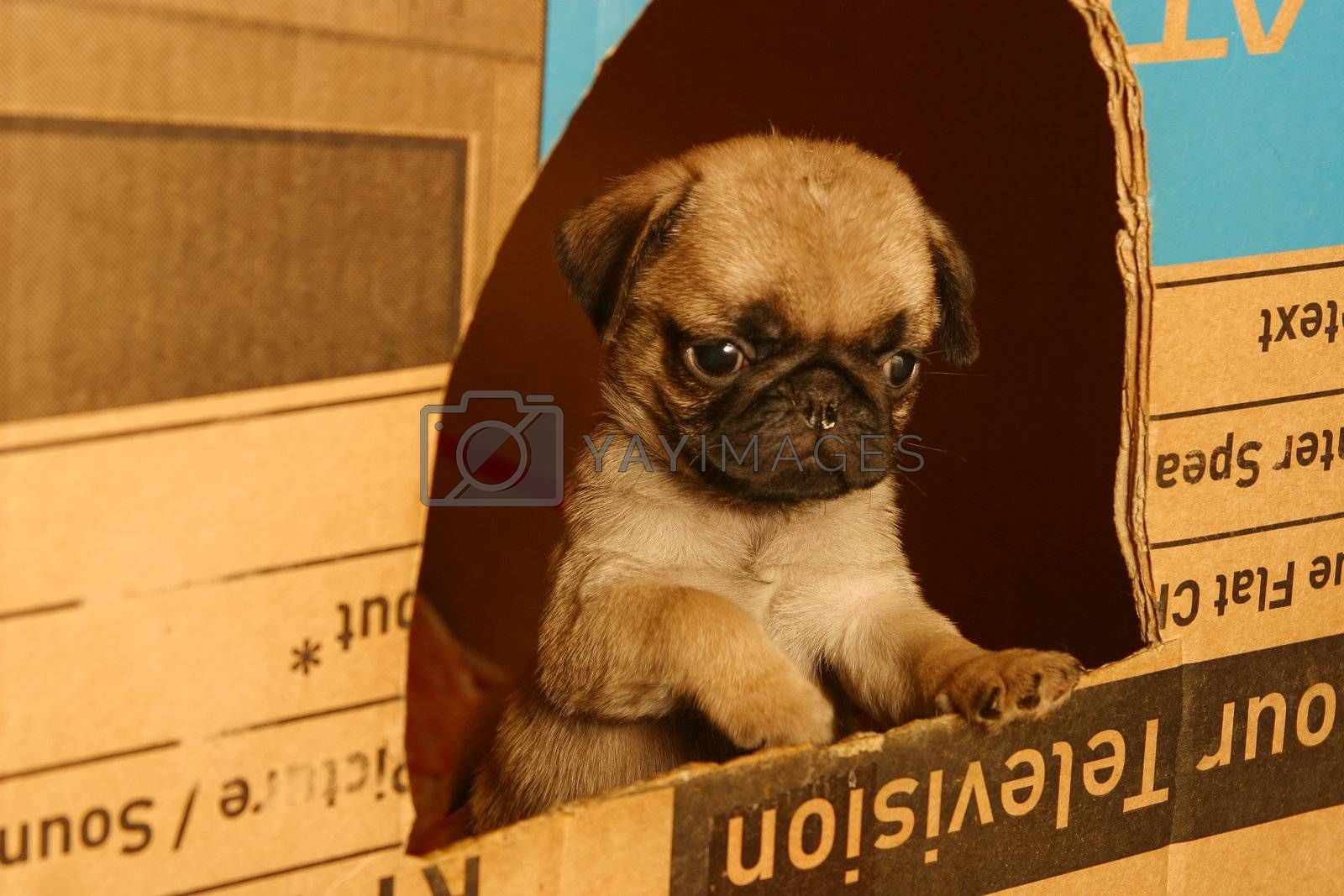 The small puppy of a pug looks out from a box