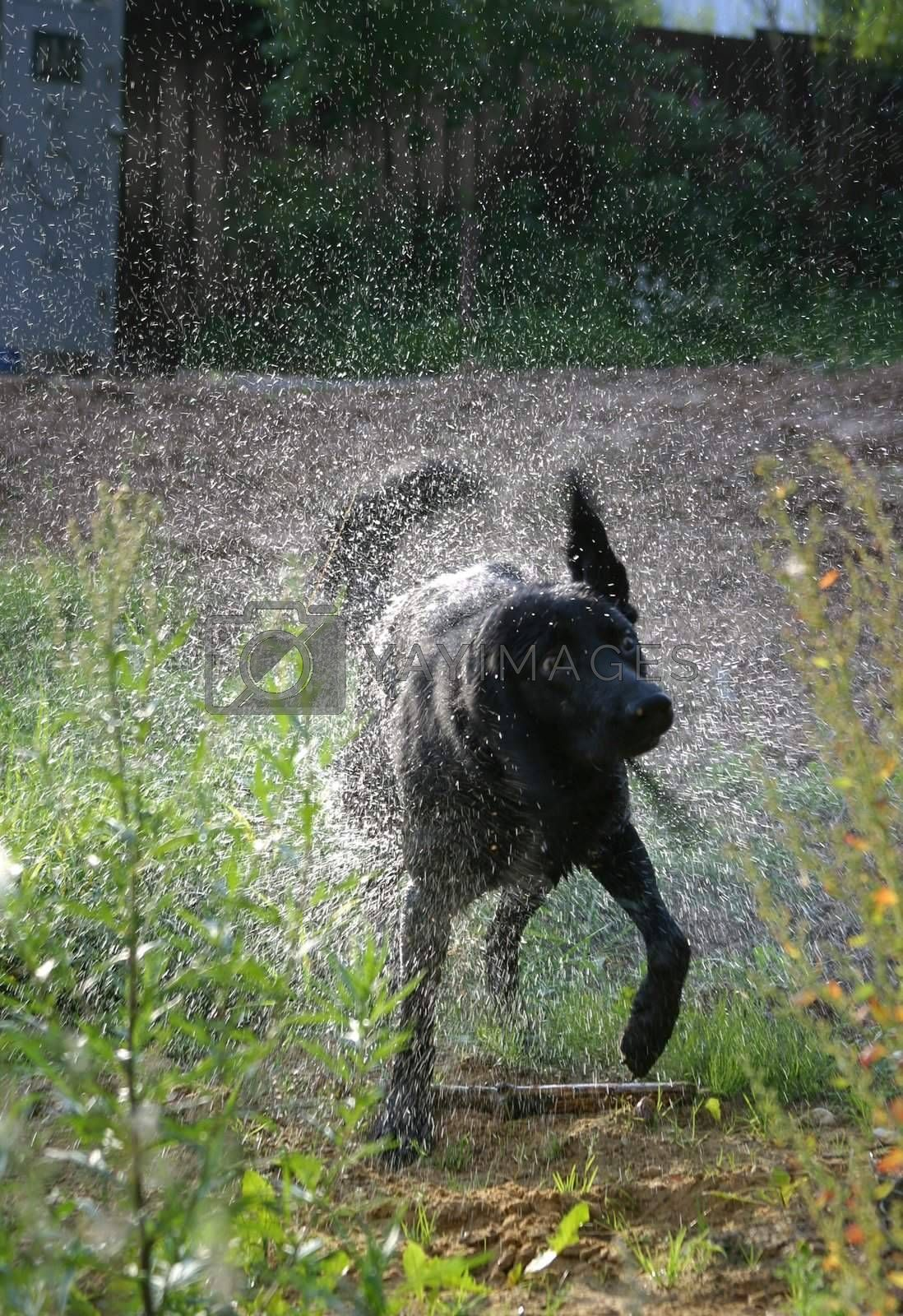 Wet dog in sparks. Illustration to magazine about animals