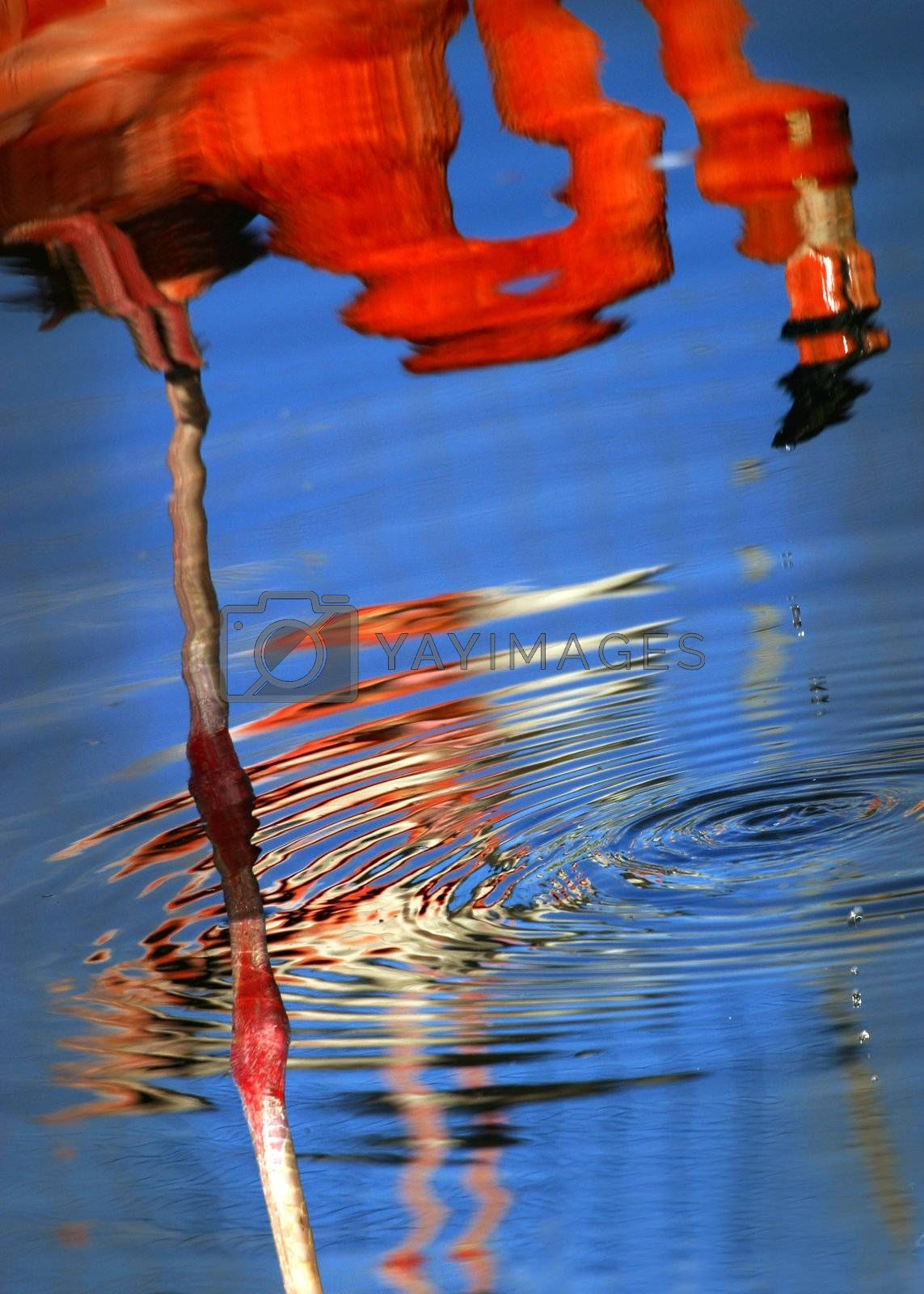 Reflection of a pink flamingo in water