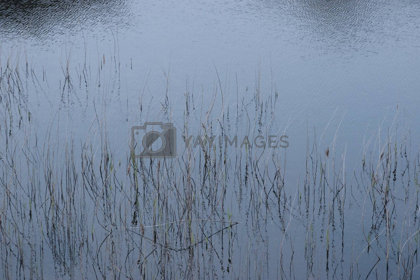 reflections of rushes on a lake