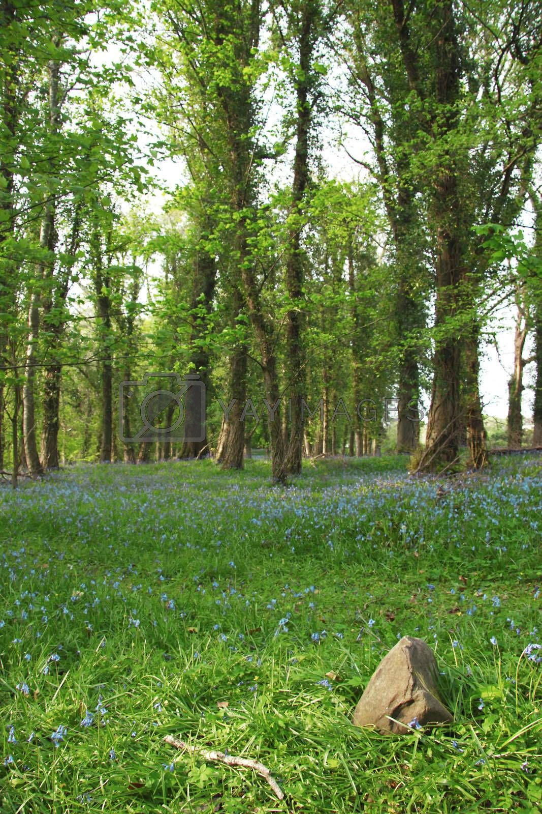 bluebell walk by morrbyte