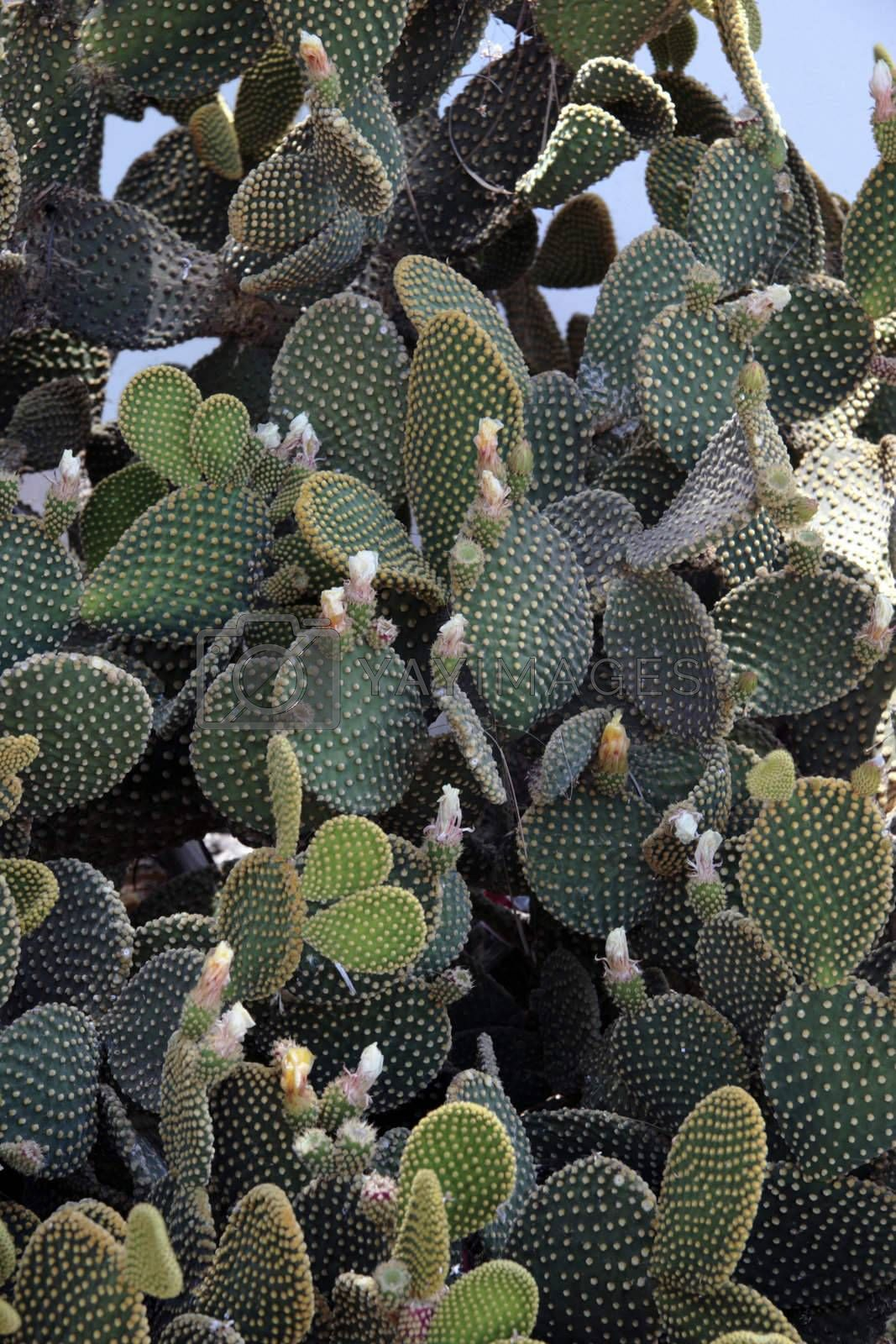 a flowering cactus on a mediteranean island