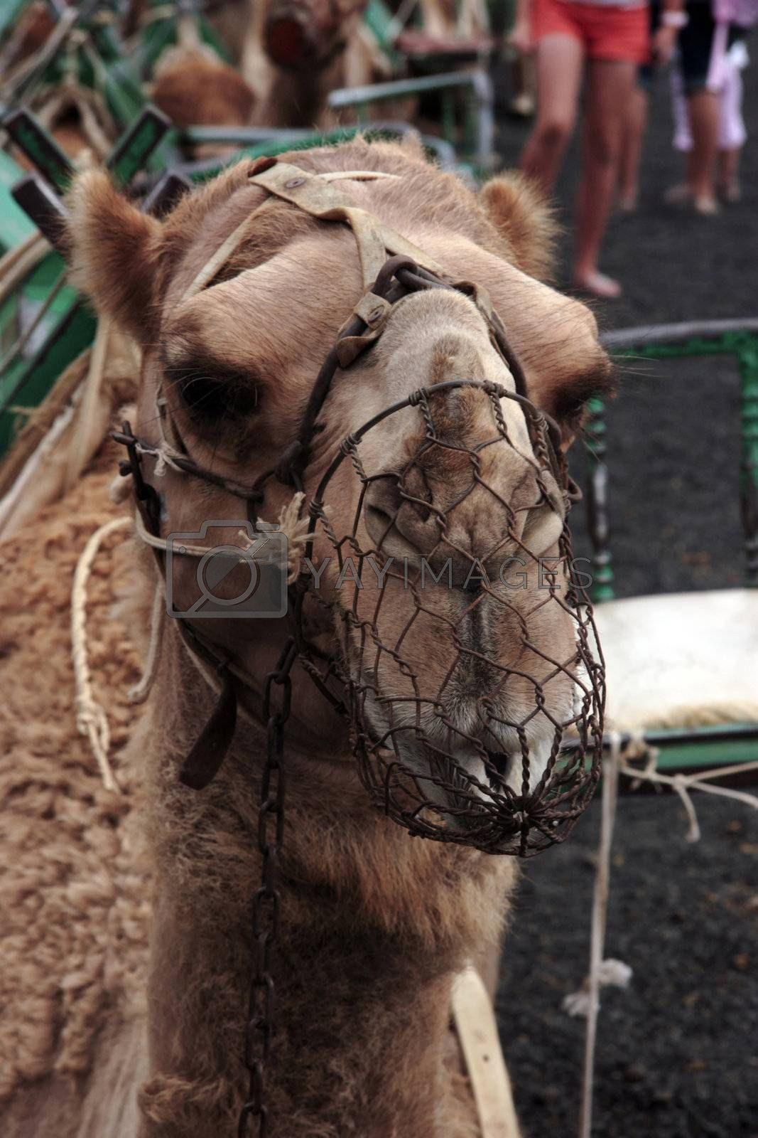 camel resting before he sets off again
