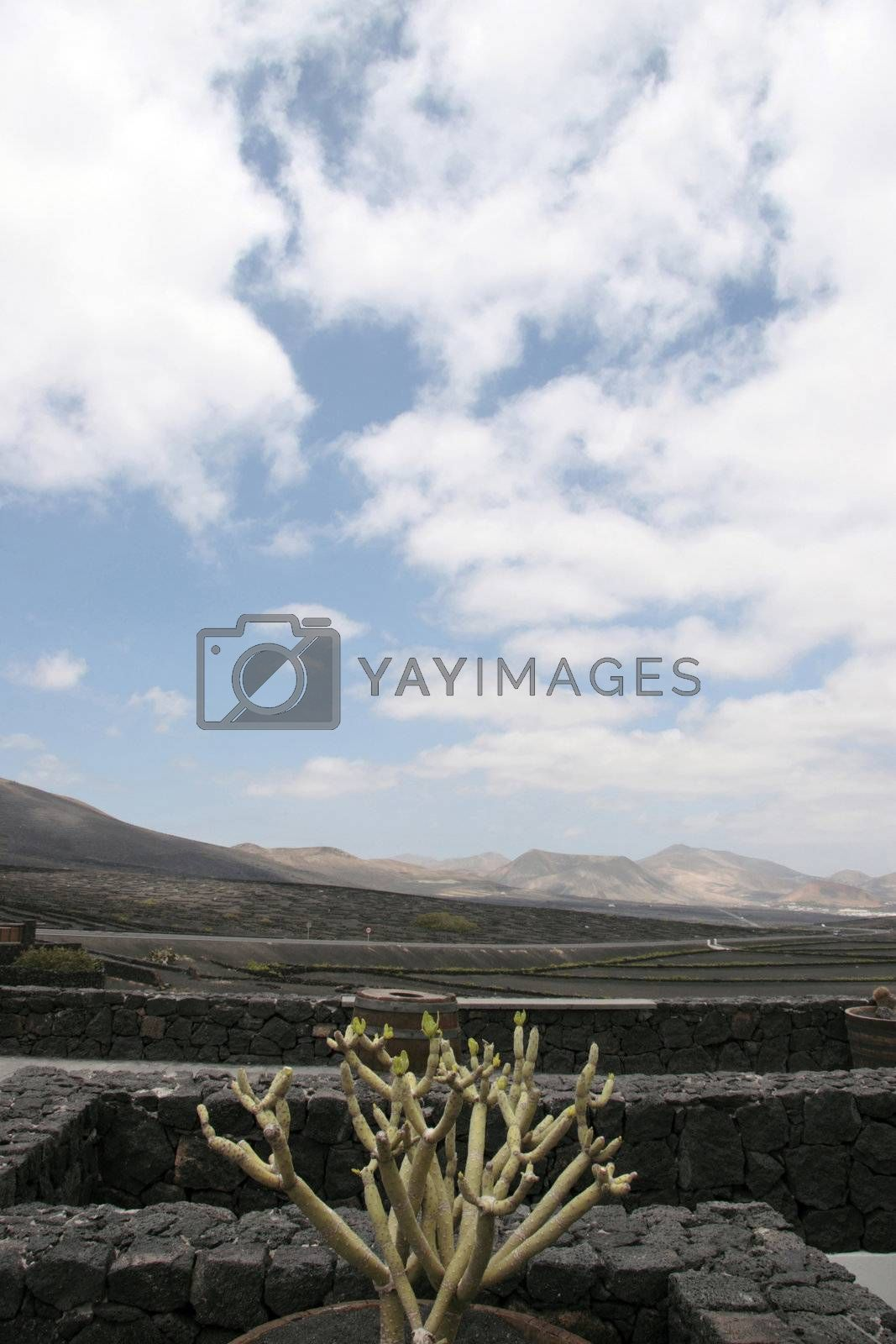 a vineyard in the wine region of lanzarote