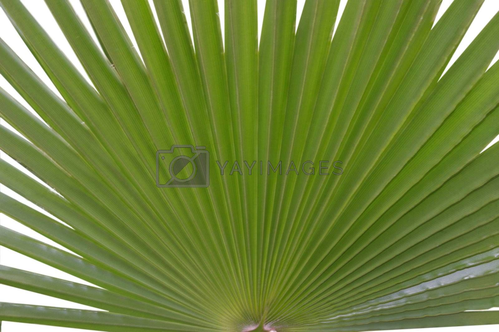 plant like a fan with white background