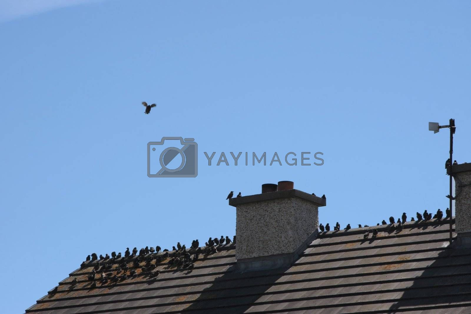 birds on a roof vi by morrbyte