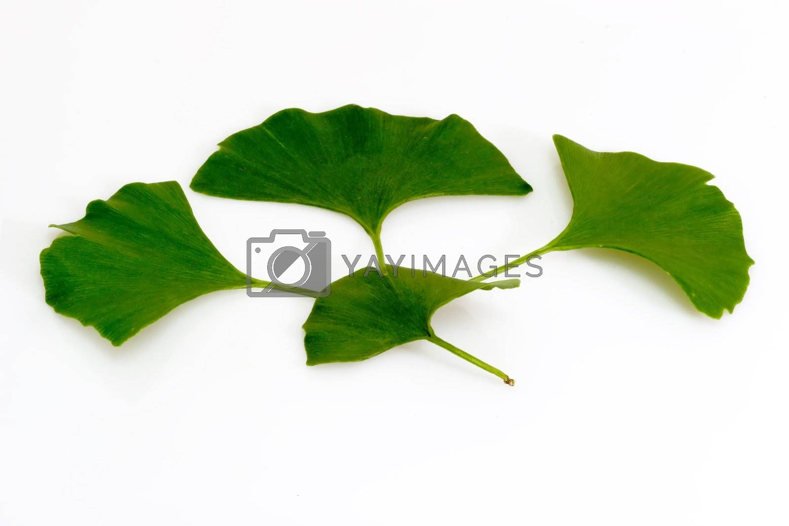 Ginkgo biloba leafs on bright background.
