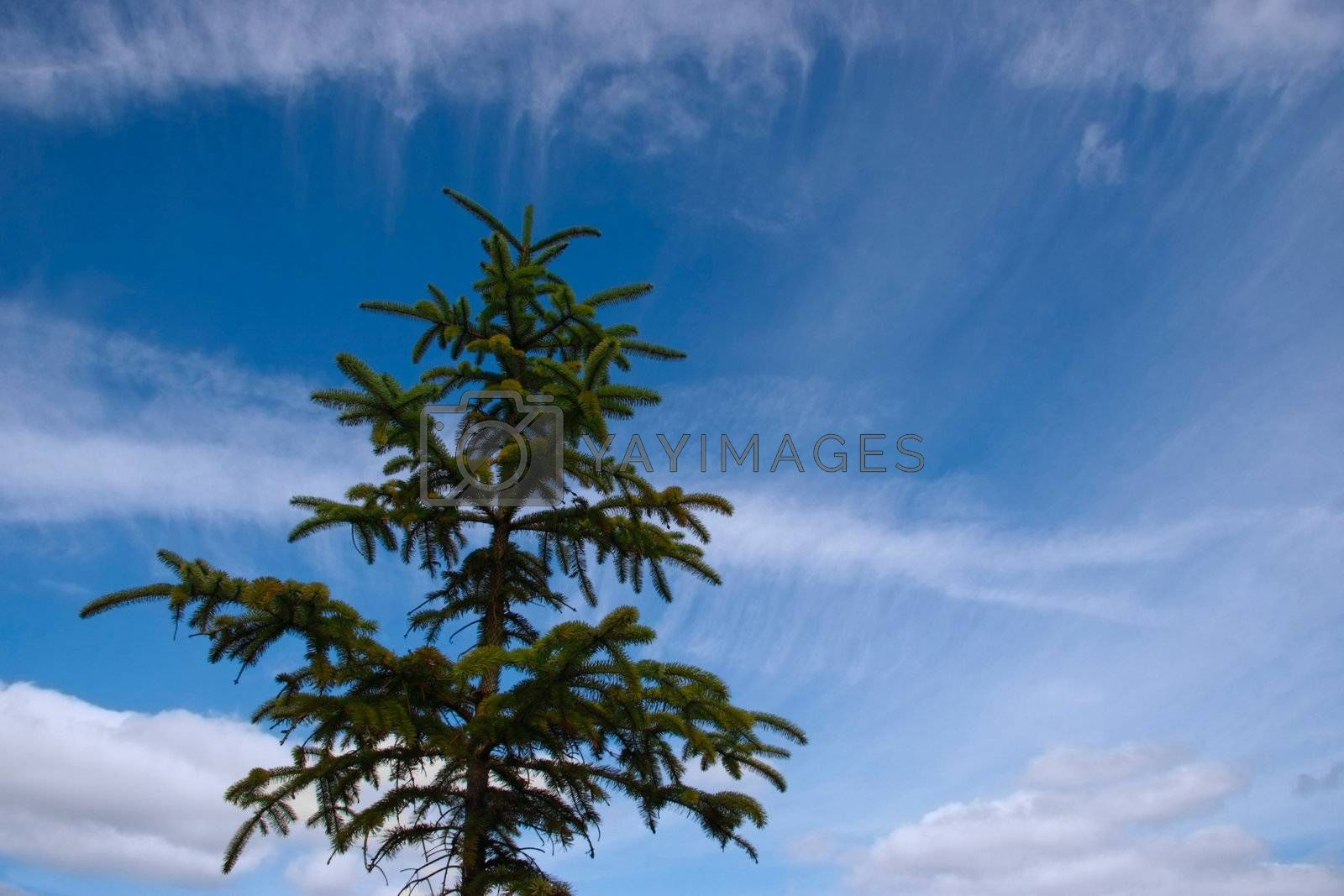 a lone conifer tree against a cloudy background
