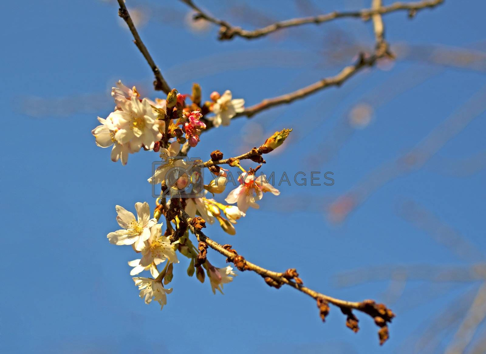 Flowers on a branch of a cherry tree, with blue sky in the background