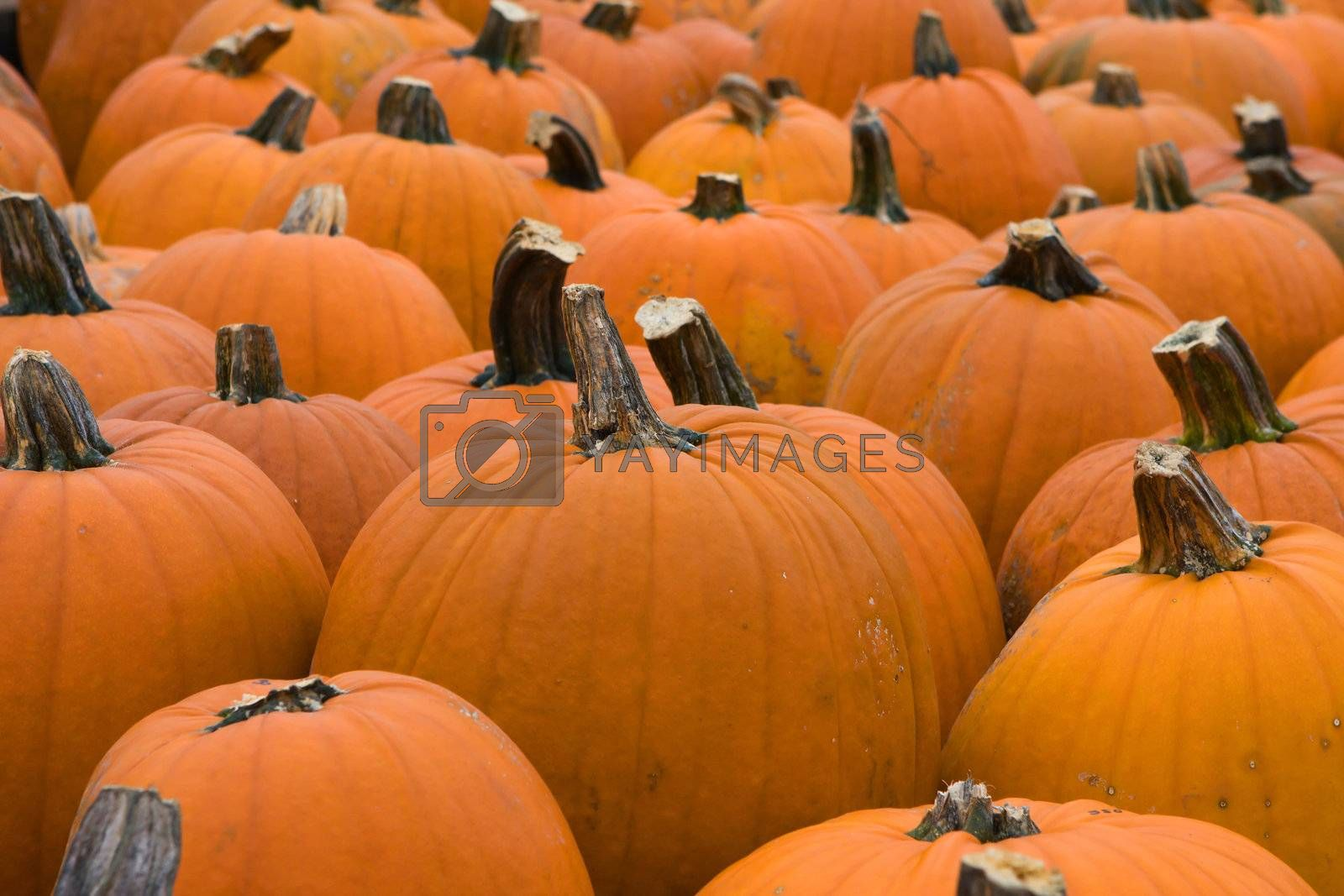 Pumpkins lines up during the Halloween holiday.