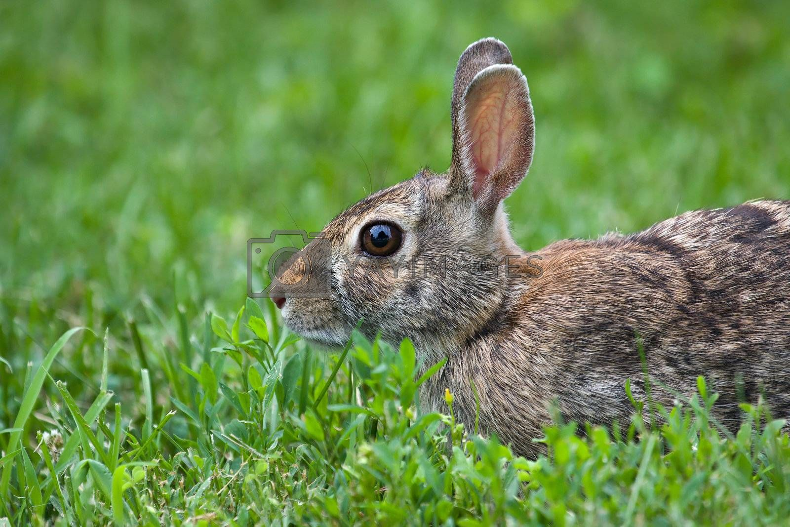 Peaceful Jack Rabbit Laying in the Grass.