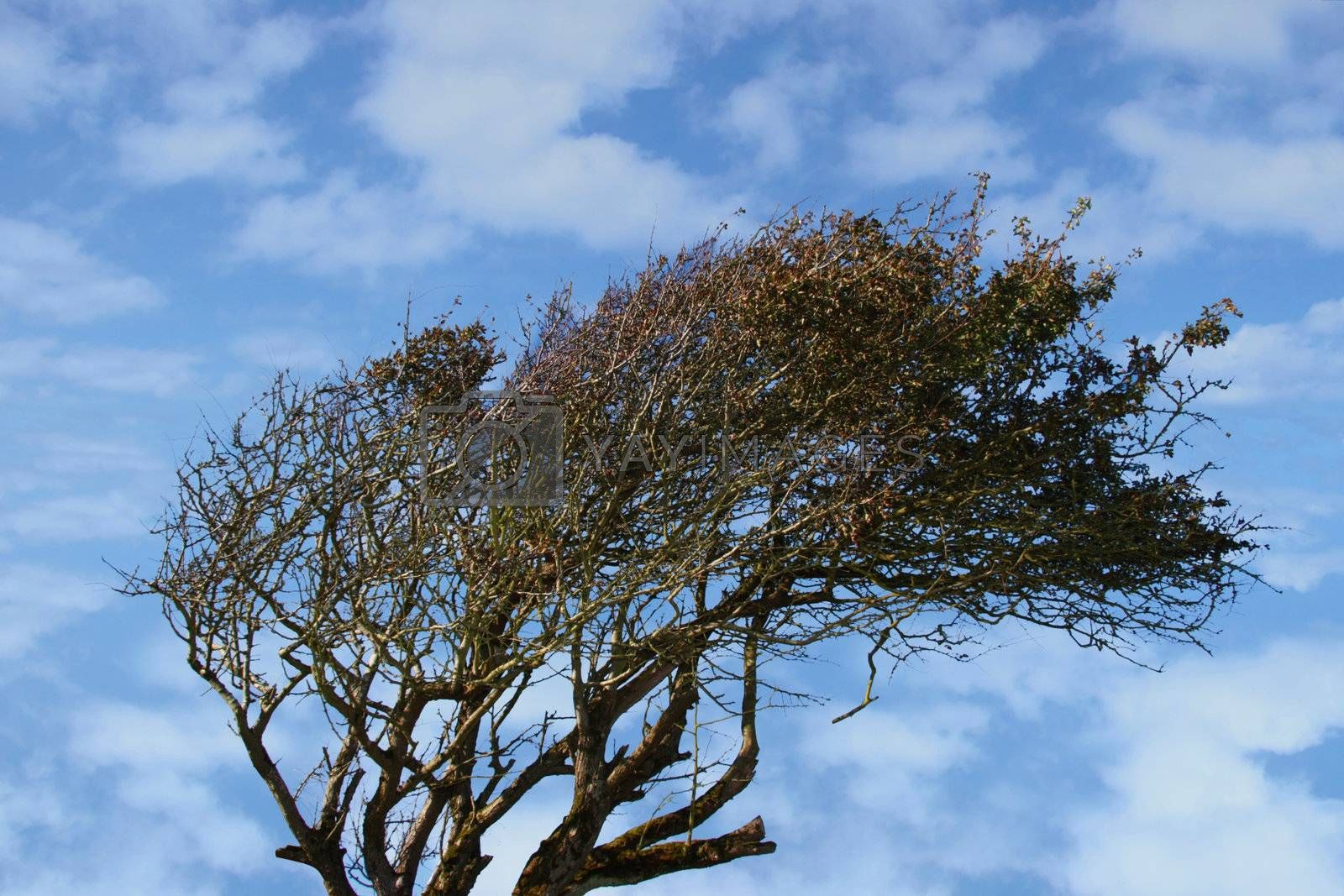 a tree bent by the west winds